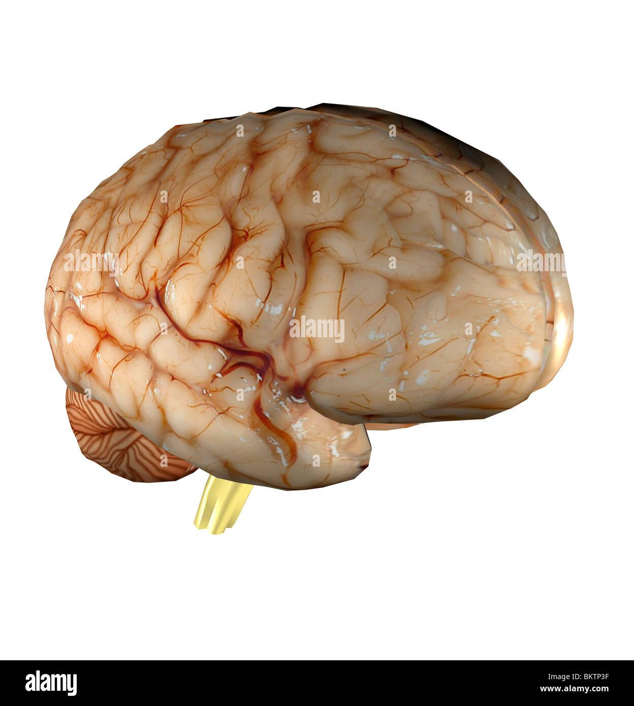El cerebro es una parte del sistema nervioso central de los seres humanos y se encuentra en la cabeza. Imagen De Stock