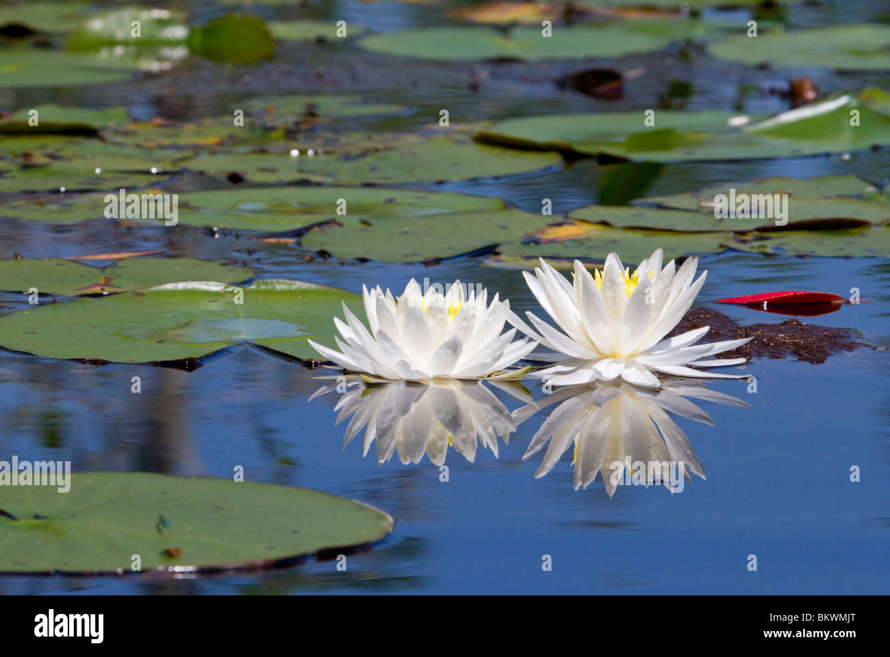 Wild Water lilly (Nymphaea odorata). Imagen De Stock