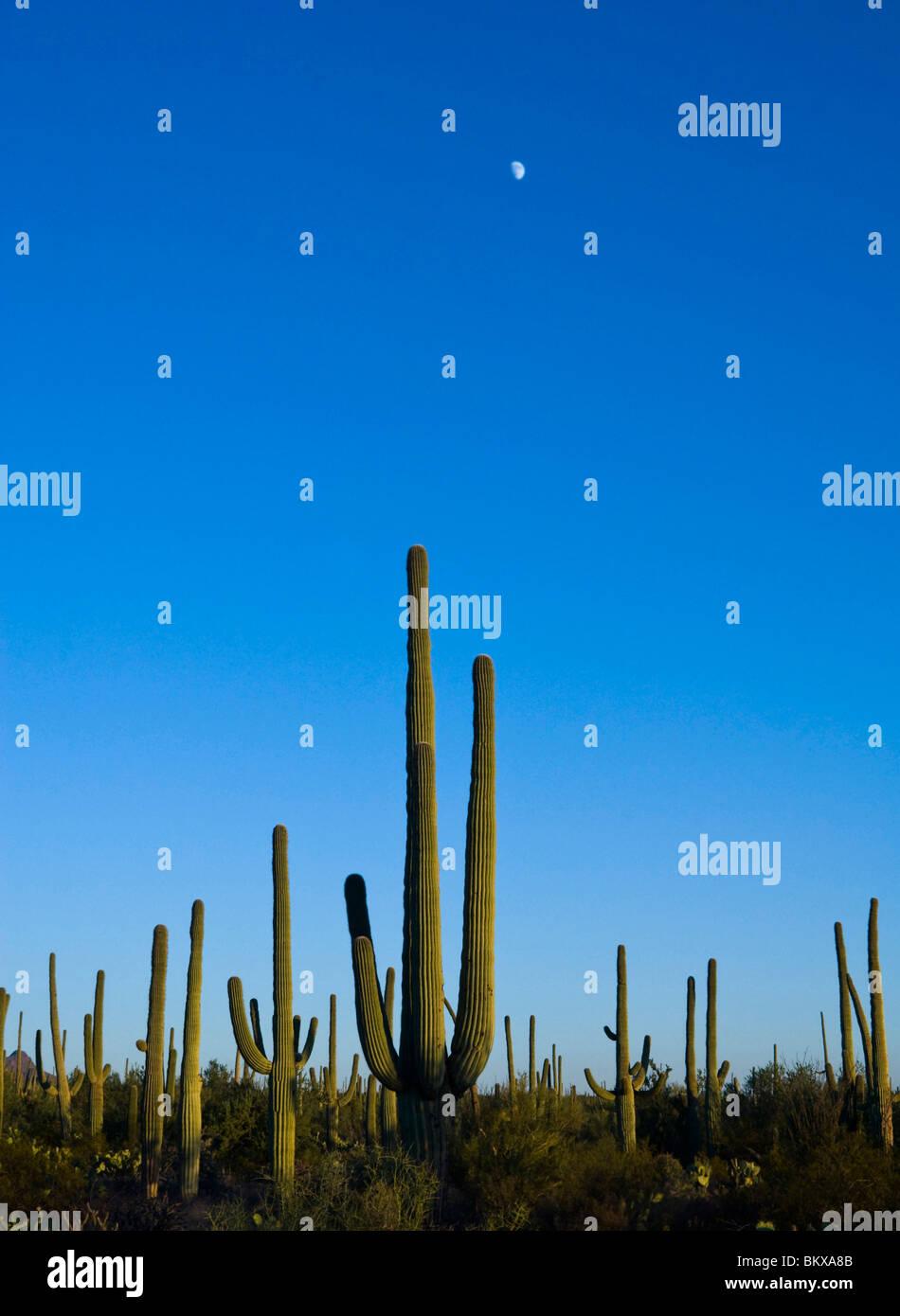 Luna elevándose sobre cactus saguaro Imagen De Stock
