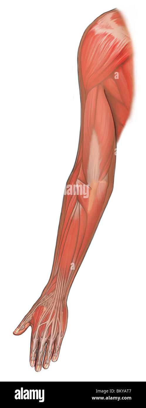 Anatomía muscular del brazo dorsal Foto & Imagen De Stock: 29490055 ...
