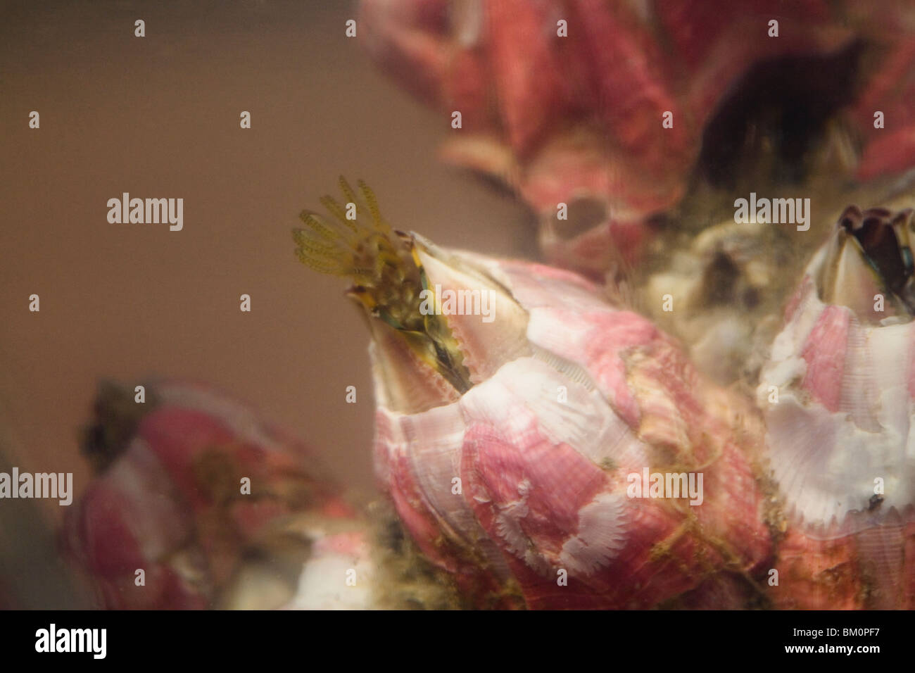 La roca viva acorn percebes - Megabalamus coccopoma Foto de stock