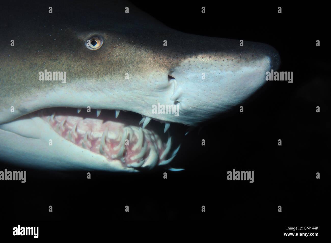Sand Tiger Shark, Carcharias taurus, cautiva Foto de stock