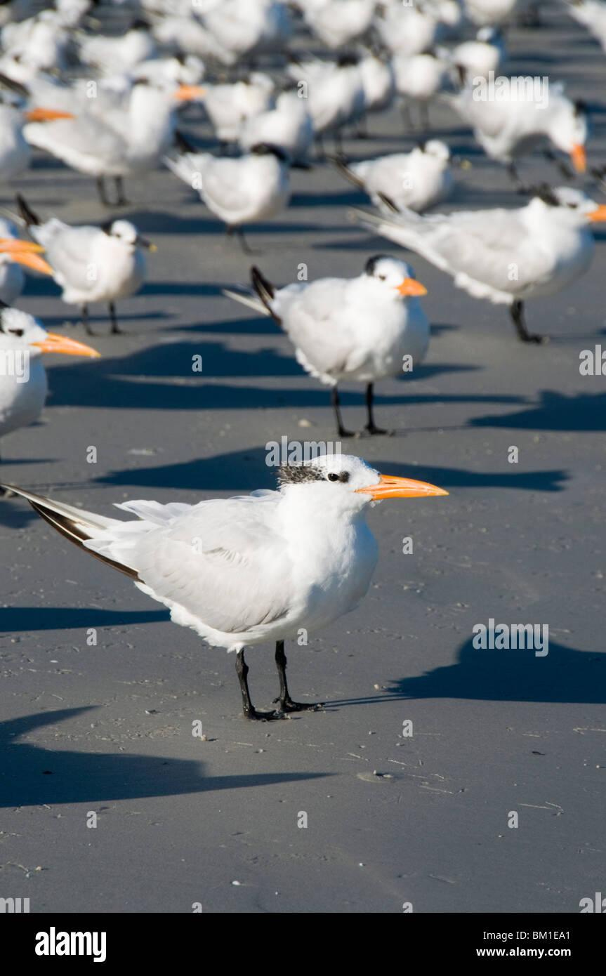 El charrán real de aves en playa, Sanibel Island, Gulf Coast, Florida, Estados Unidos de América, América del Norte Foto de stock