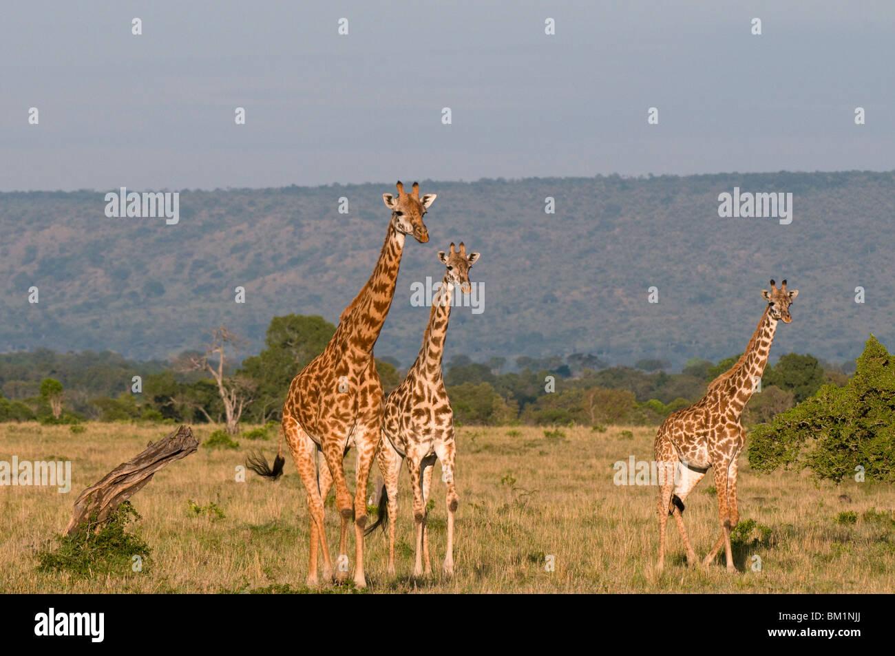 Masai jirafa (Giraffa camelopardalis), Reserva Nacional de Masai Mara, Kenia, África oriental, África Imagen De Stock
