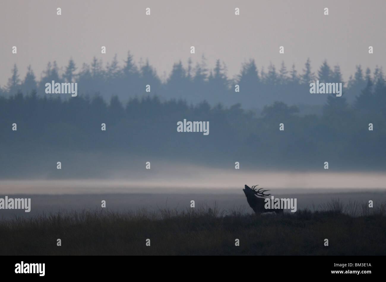 Ciervo rojo (Cervus elaphus). Rugido de ciervo durante el badén, Países Bajos Imagen De Stock