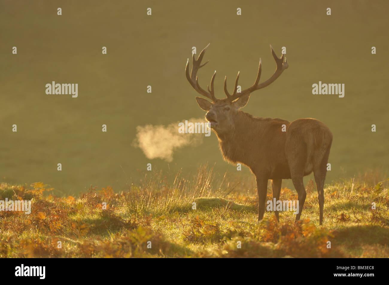 Ciervo rojo (Cervus elaphus). Ciervo en Rut otoñal rugiente, Leicestershire, REINO UNIDO Imagen De Stock