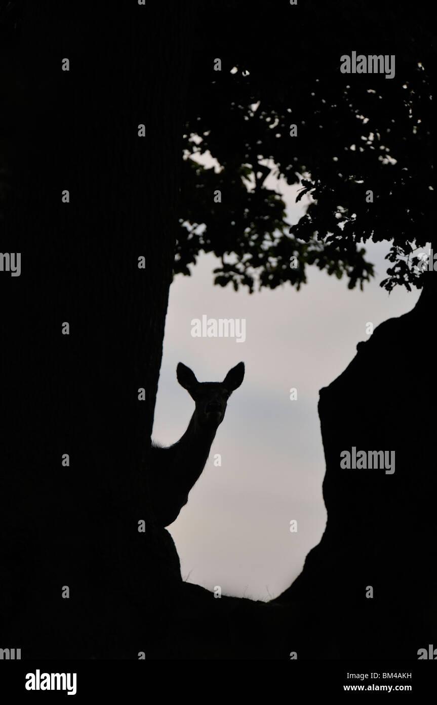 Ciervo rojo (Cervus elaphus). Hind en Rut otoñal en un bosque al anochecer, glade Bradgate Park, Leicestershire, Imagen De Stock