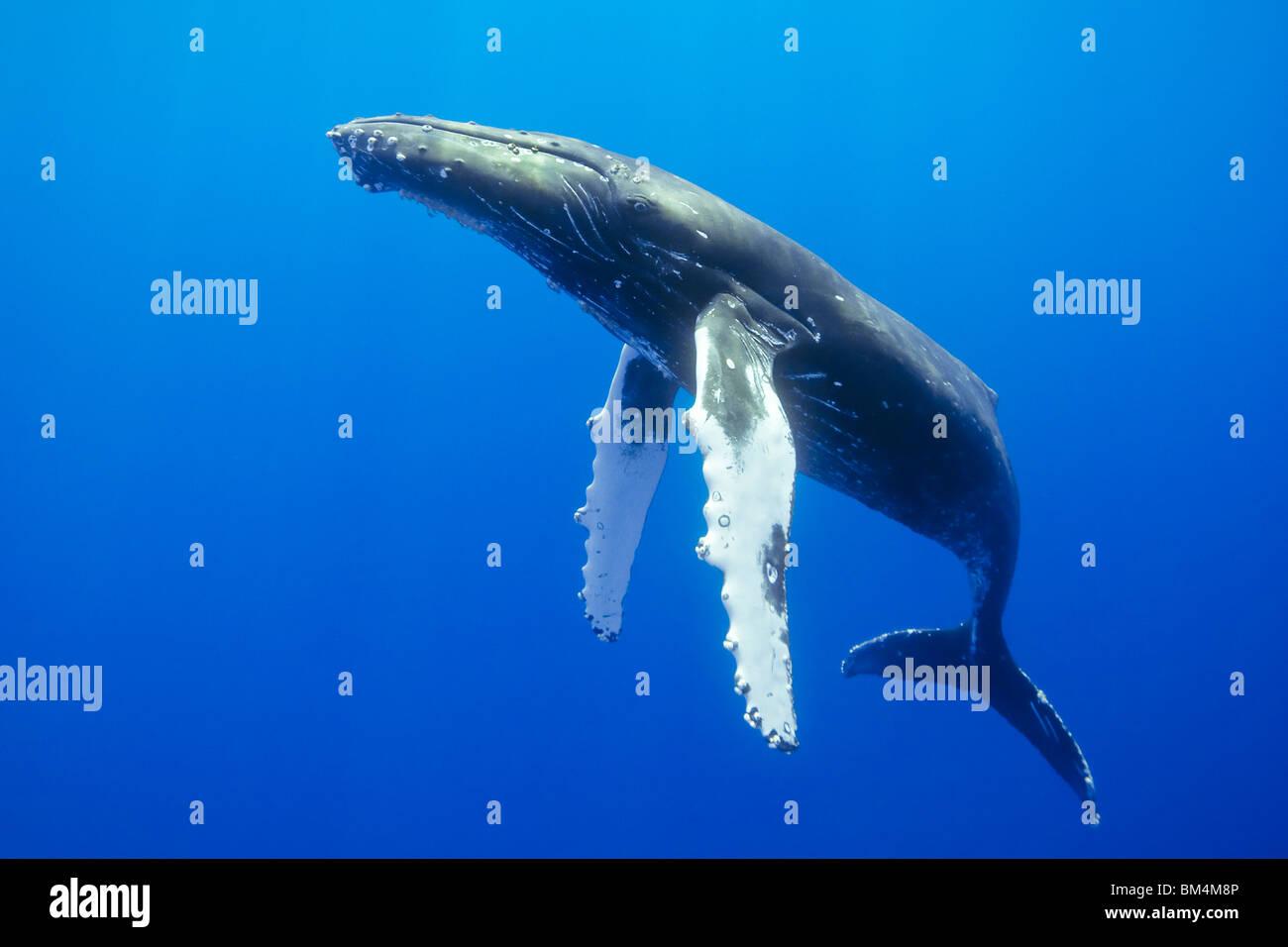La ballena jorobada, Megaptera novaeangliae, Océano Pacífico, Hawai, EE.UU. Foto de stock