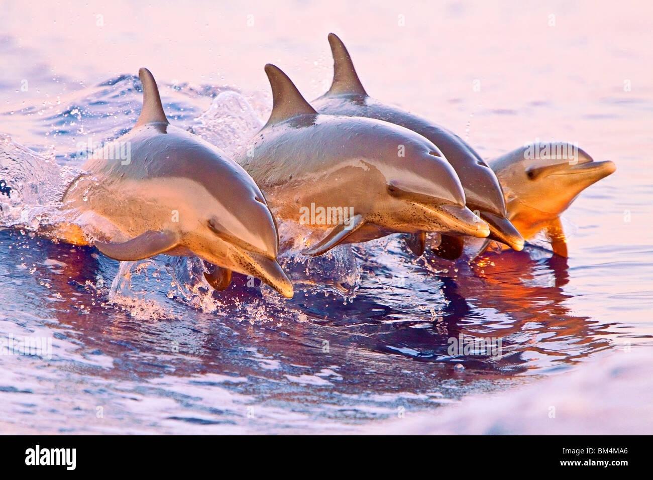 El Delfín Manchado Pantropical, Stenella attenuata, Océano Pacífico, Hawai, EE.UU. Imagen De Stock