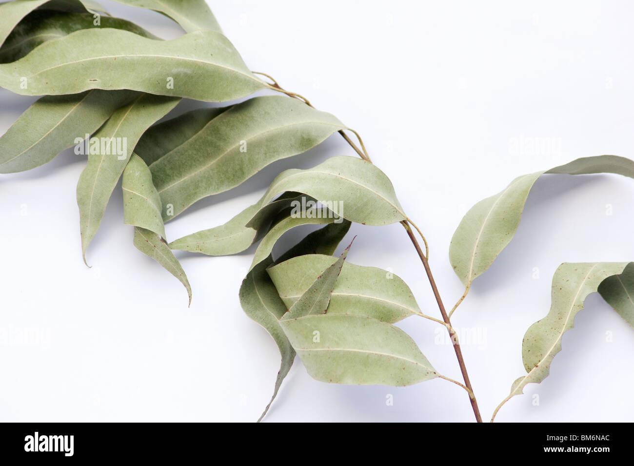 Hojas de eucalipto seca en una rama sobre fondo blanco. Imagen De Stock