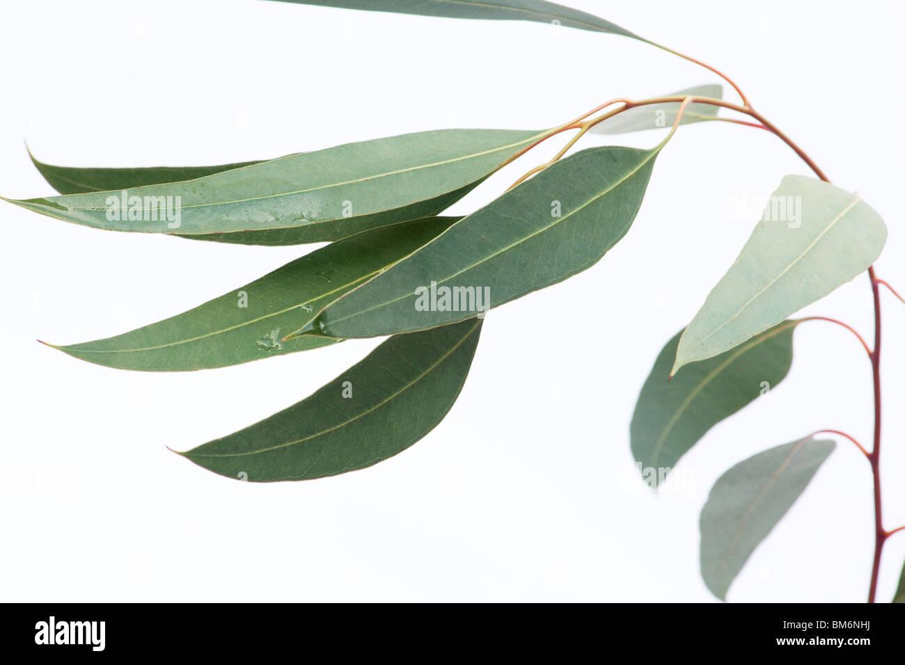 Close-up de hojas de eucalipto en una rama sobre fondo blanco. Imagen De Stock