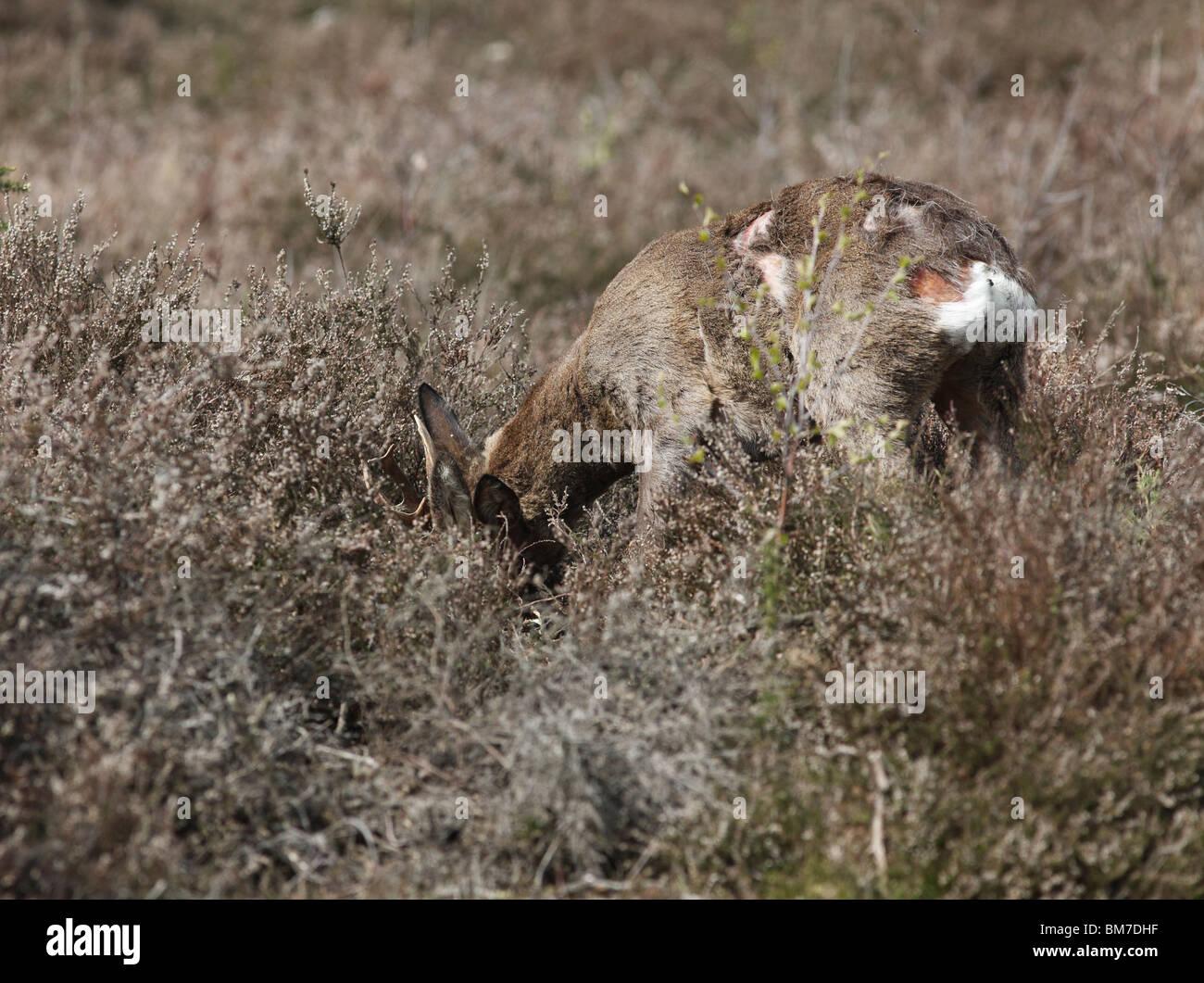 El corzo (Capreolus capreolus) buck mostrando lucha daños al cuerpo Foto de stock