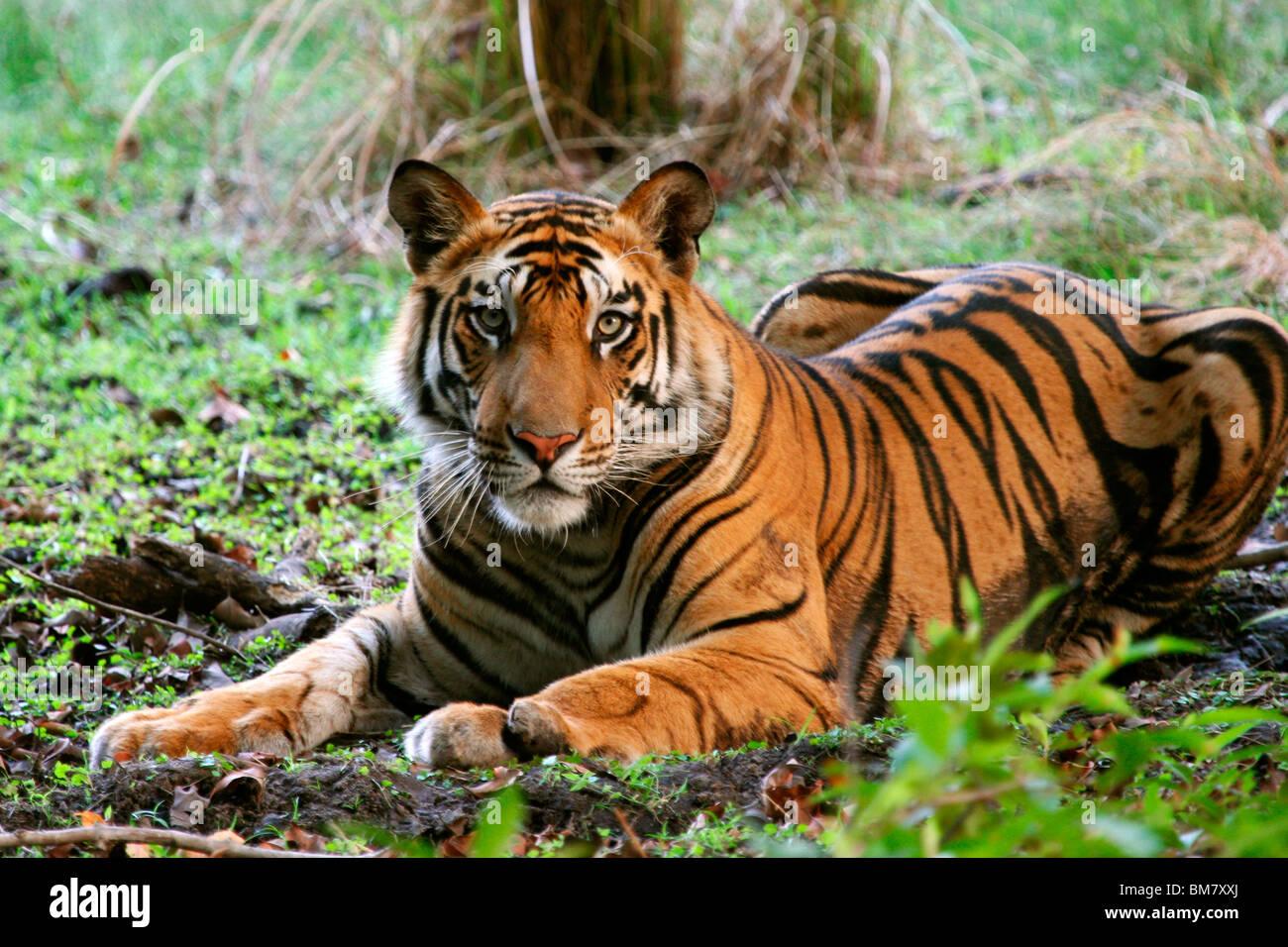 El Tigre de Bengala (Panthera tigris tigris), el Parque Nacional de Bandhavgarh, en Madhya Pradesh, India, Asia Imagen De Stock
