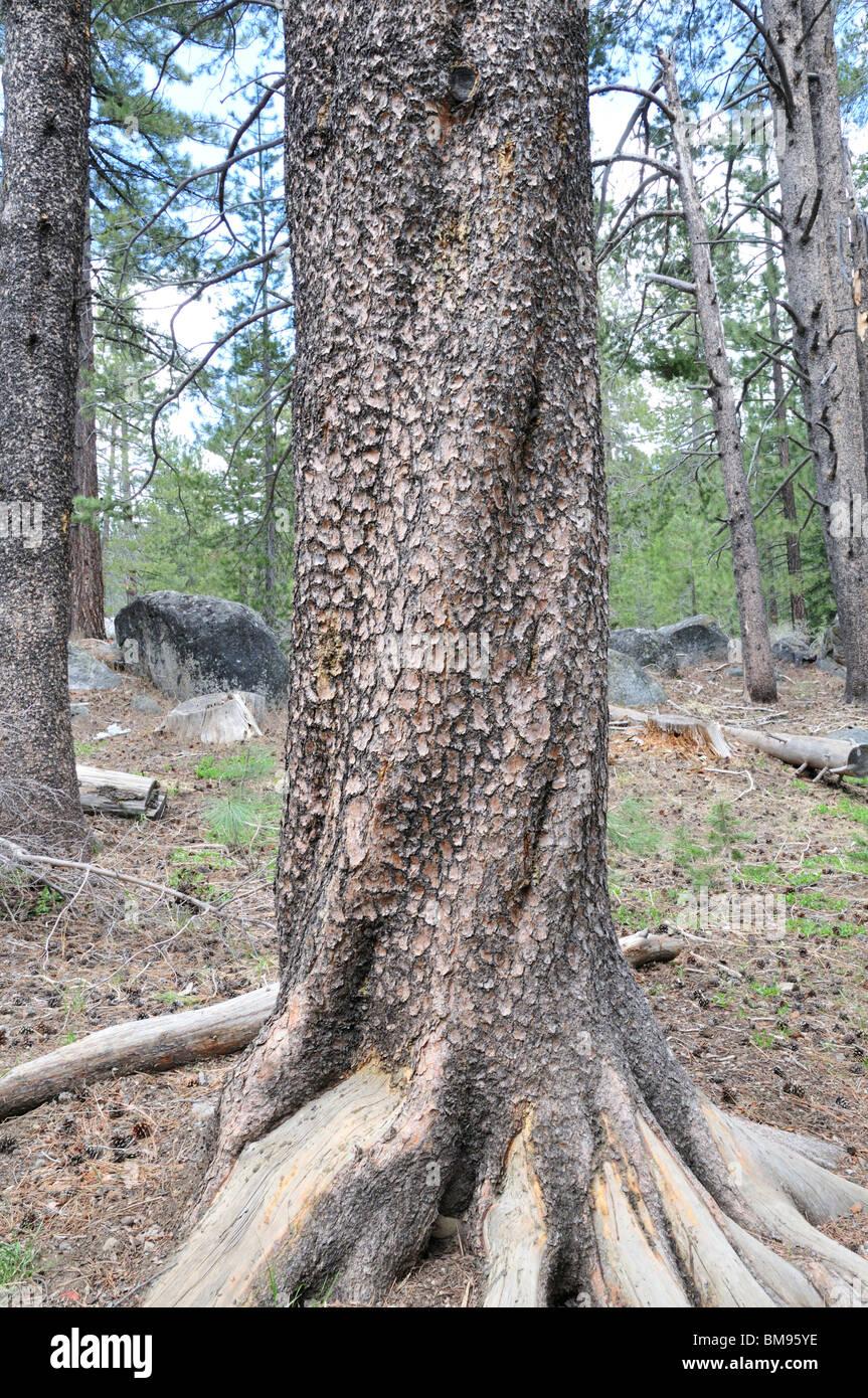Tronco de pino Lodgepole mostrando la corteza escamosa moteada altamente Imagen De Stock