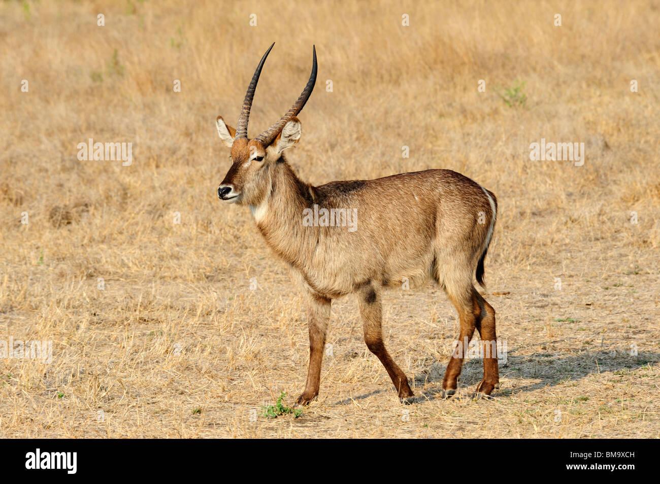Macho solitario antelope Sabi Sand Private Game Reserve en la provincia de Mpumalanga, Sudáfrica Foto de stock