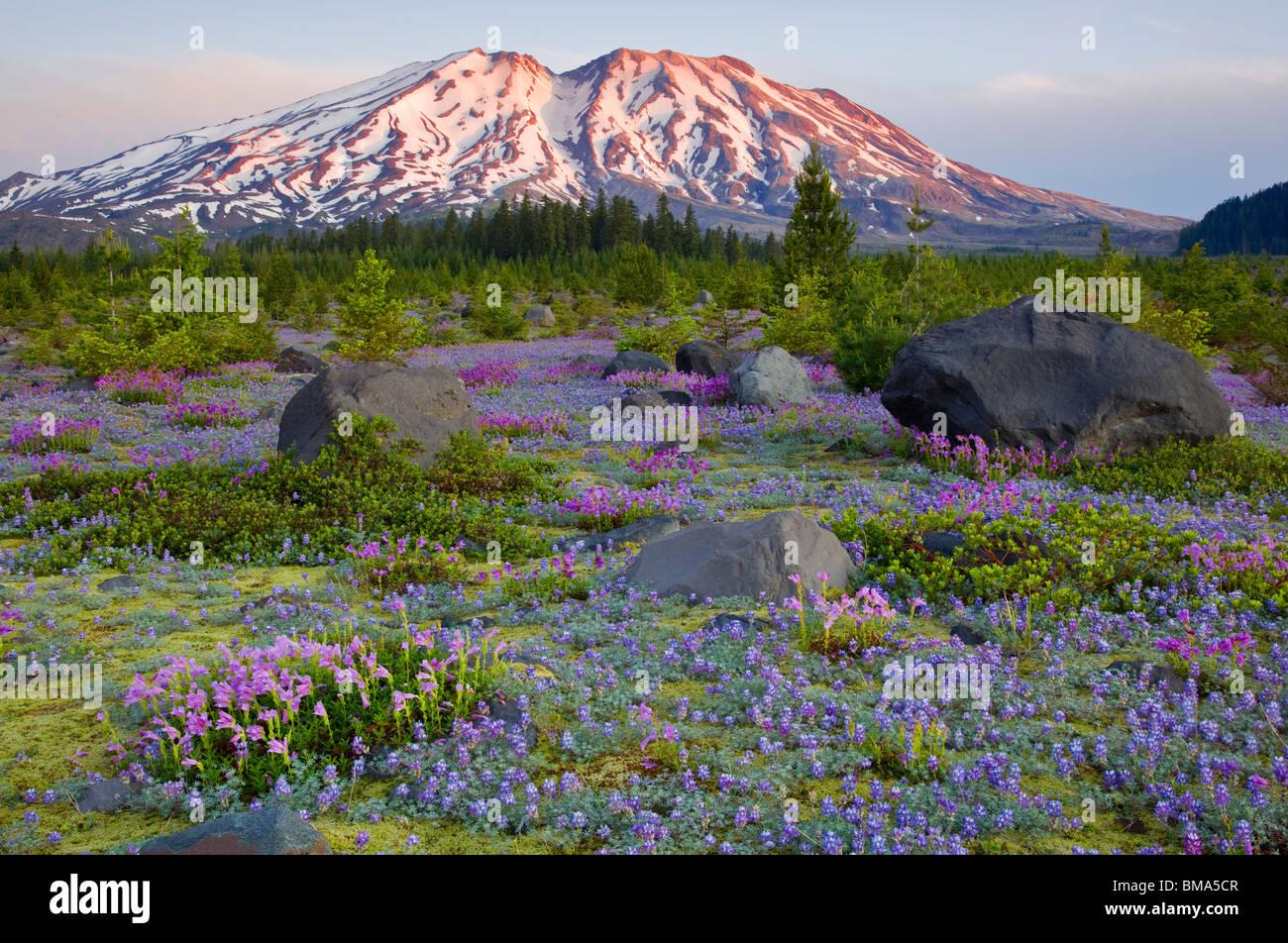 Mount Saint Helens WA, Monumento Nacional Volcánico Monte Santa Helena en el alba de una pradera de lupino y penstemon a lahares Foto de stock