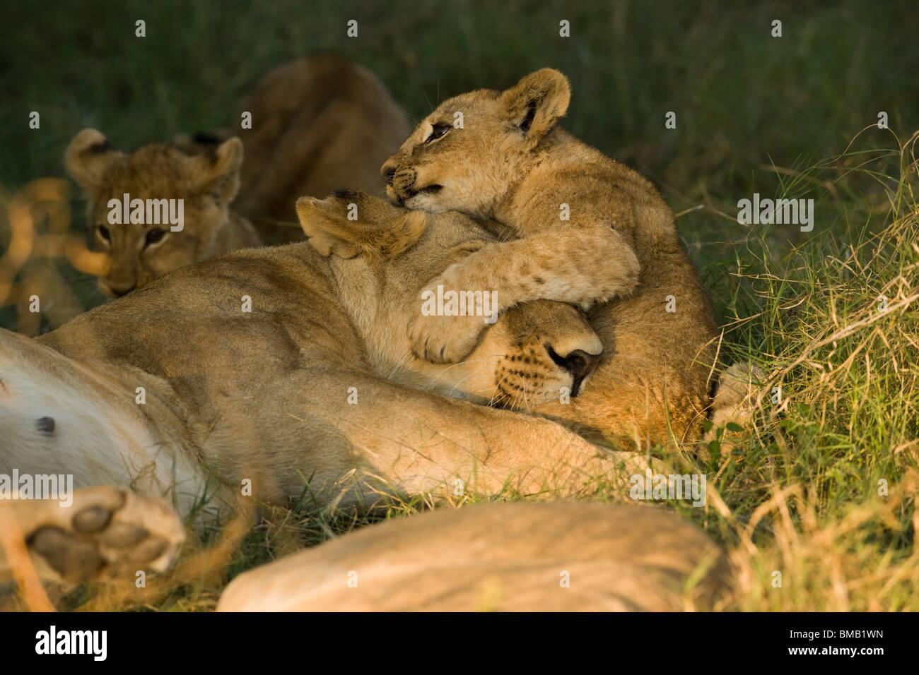 Lindo juguetón cachorro de león abrazando a dormir la mamá de cabeza, profundidad de campo, un fondo suave, el delta del Okavango Botswana Foto de stock