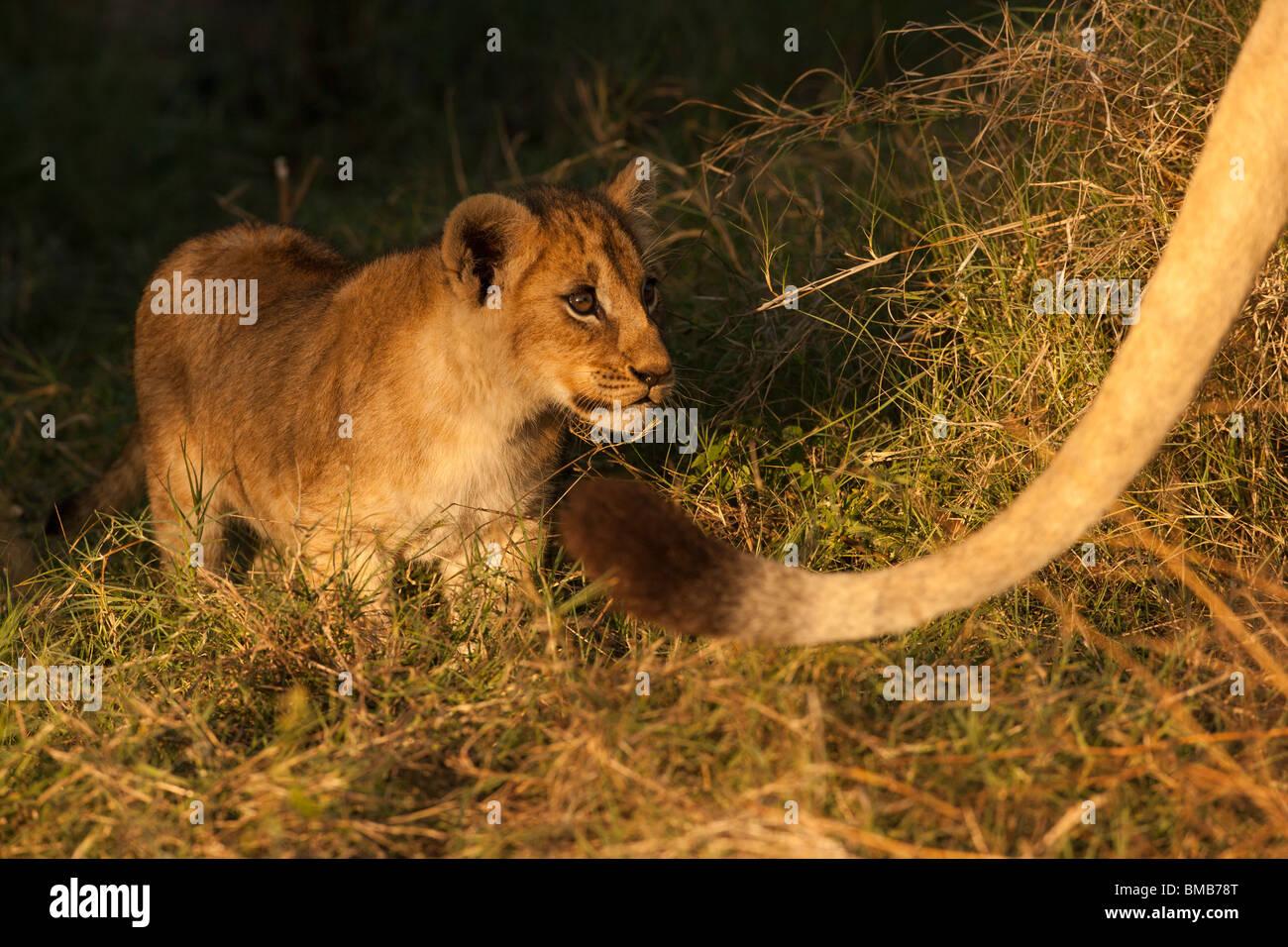 Luz dorada en lindo bebé cachorro de león de cerca, de pie tras una larga cola de madre león en el Delta del Okavango Botswana Foto de stock