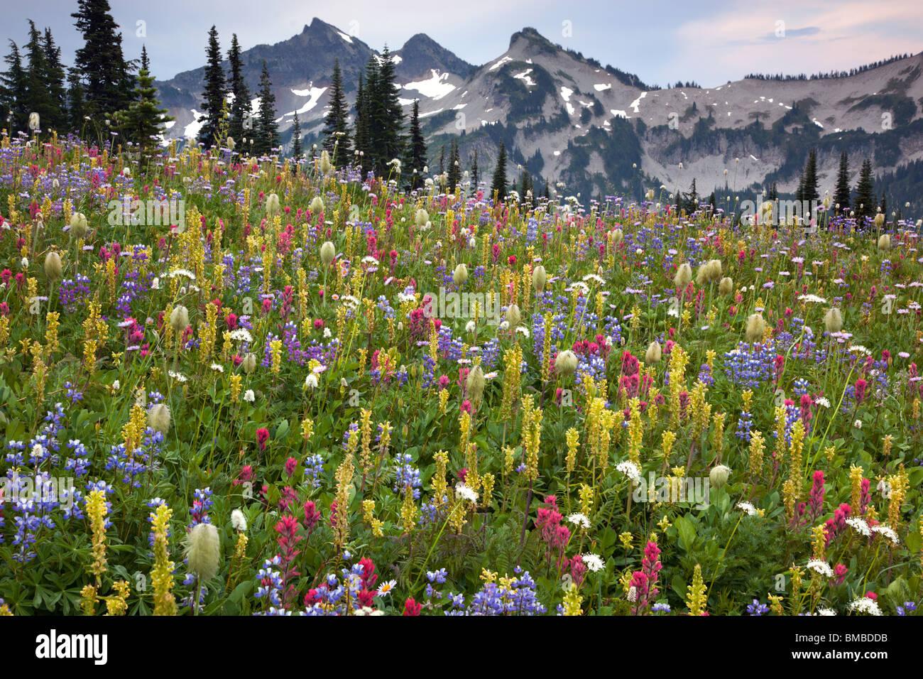 Mount Rainier Natl Park, WA picos de la gama Tatoosh encima de una pradera exuberante de flores alpinas en Mazama Imagen De Stock