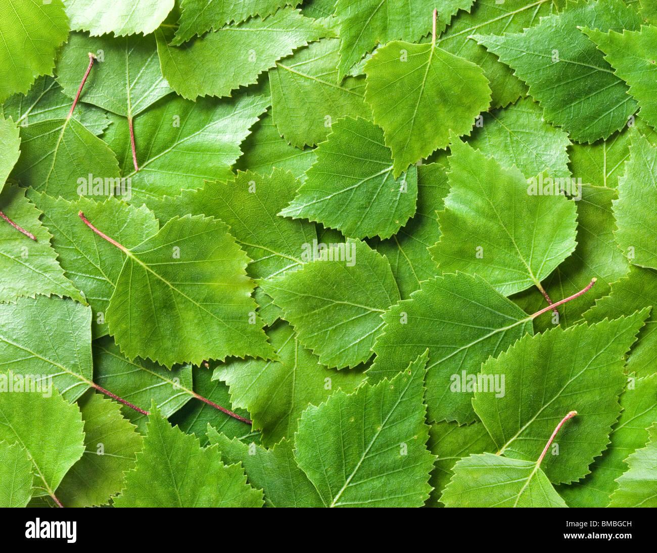 Hojas de abedul plateado Betula pendula, Imagen De Stock