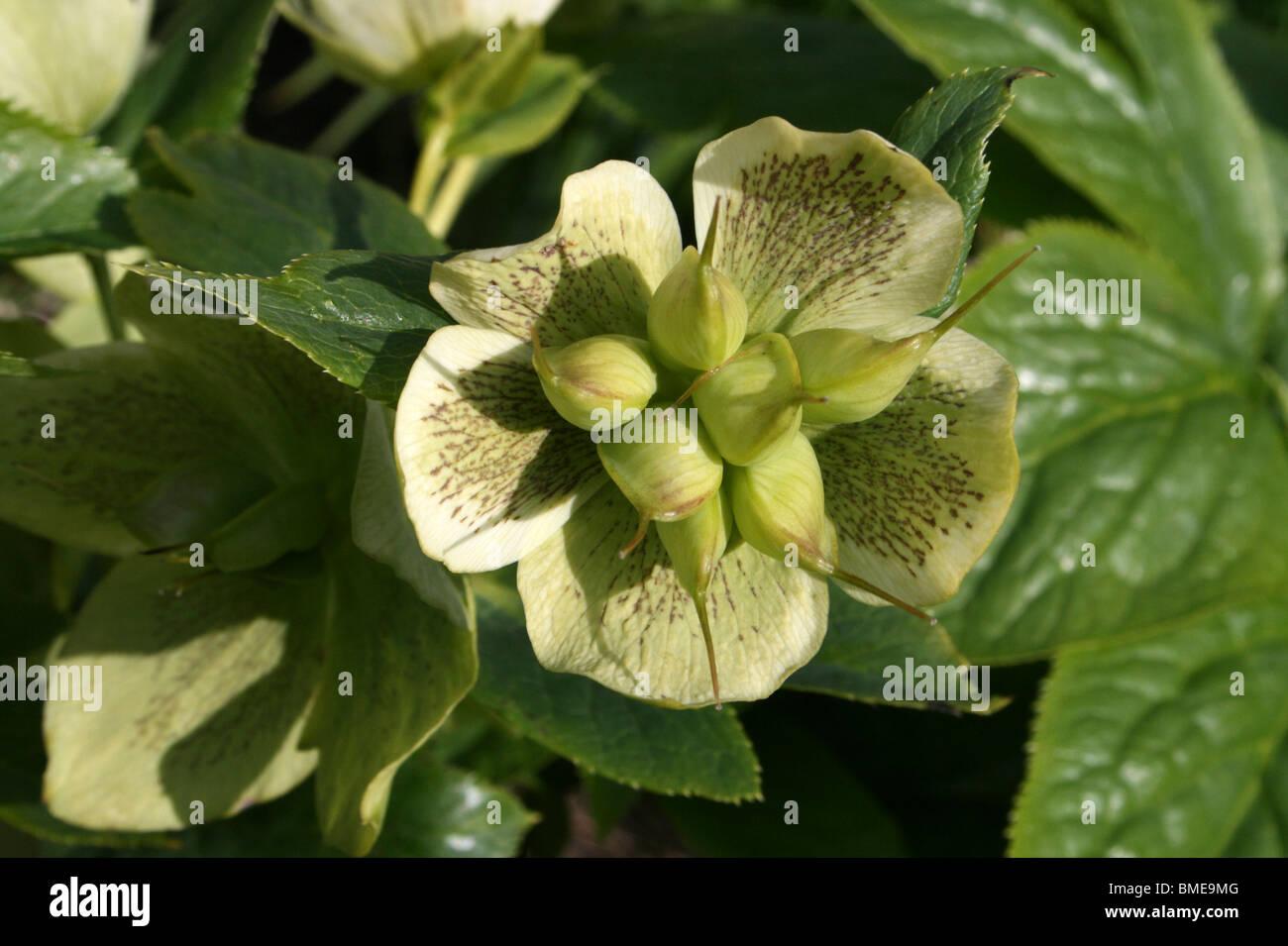 Helleborus X hybridus ido a las semillas tomadas en el parque Stanley, Blackpool, Lancashire, UK Foto de stock
