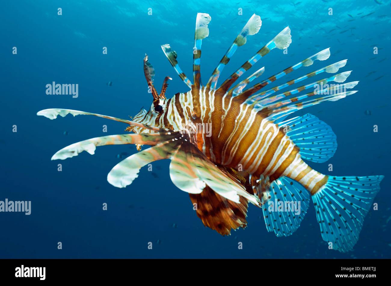 El pez león. Egipto, el Mar Rojo. Foto de stock