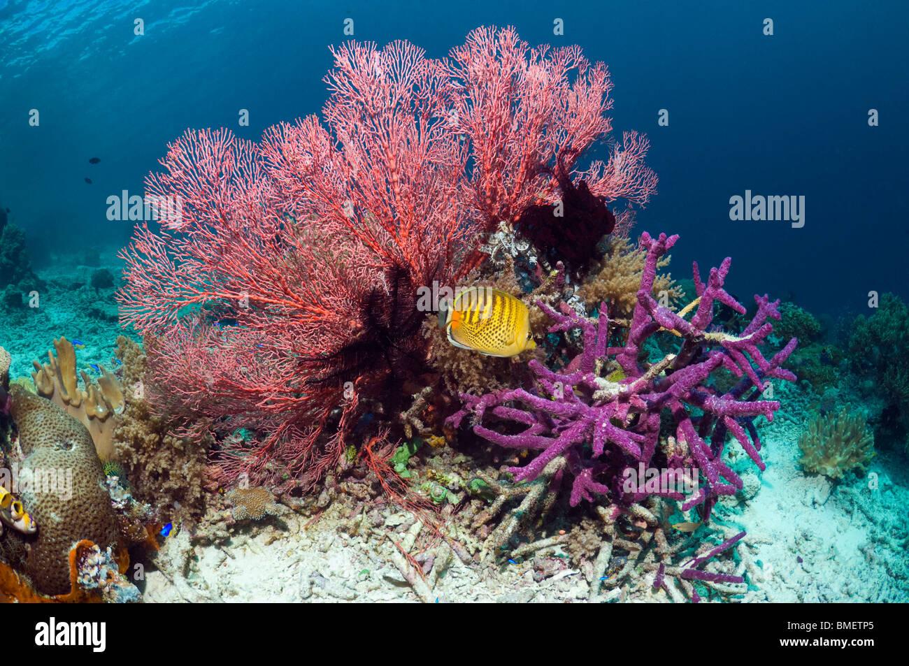 Spot-banded butterflyfish con gorgonias y esponjas púrpura incrustantes sobre arrecifes de coral, Raja Empat Imagen De Stock