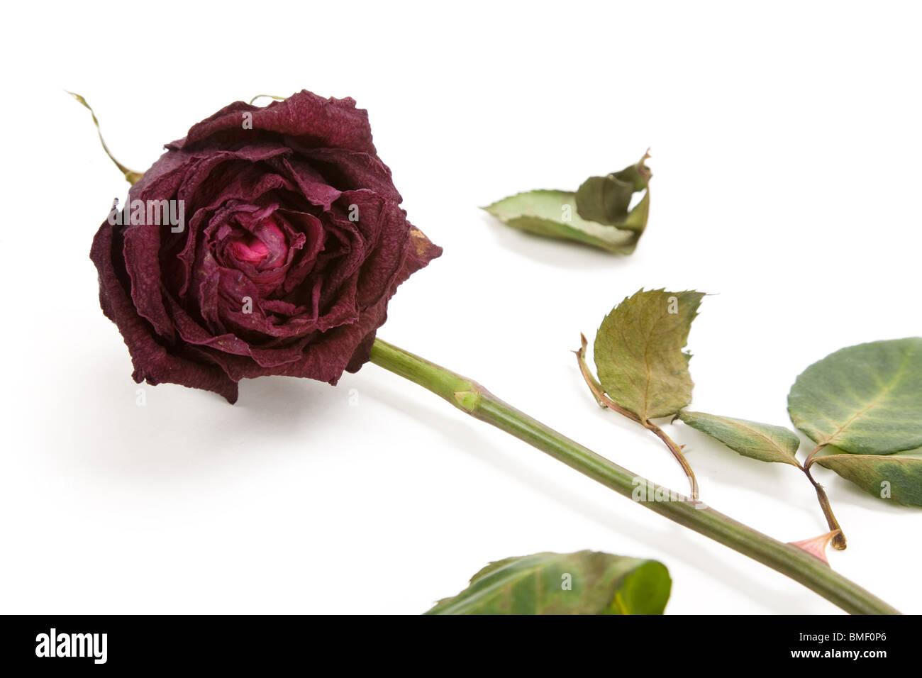Red dead rose, concepto de amor perdido Foto de stock