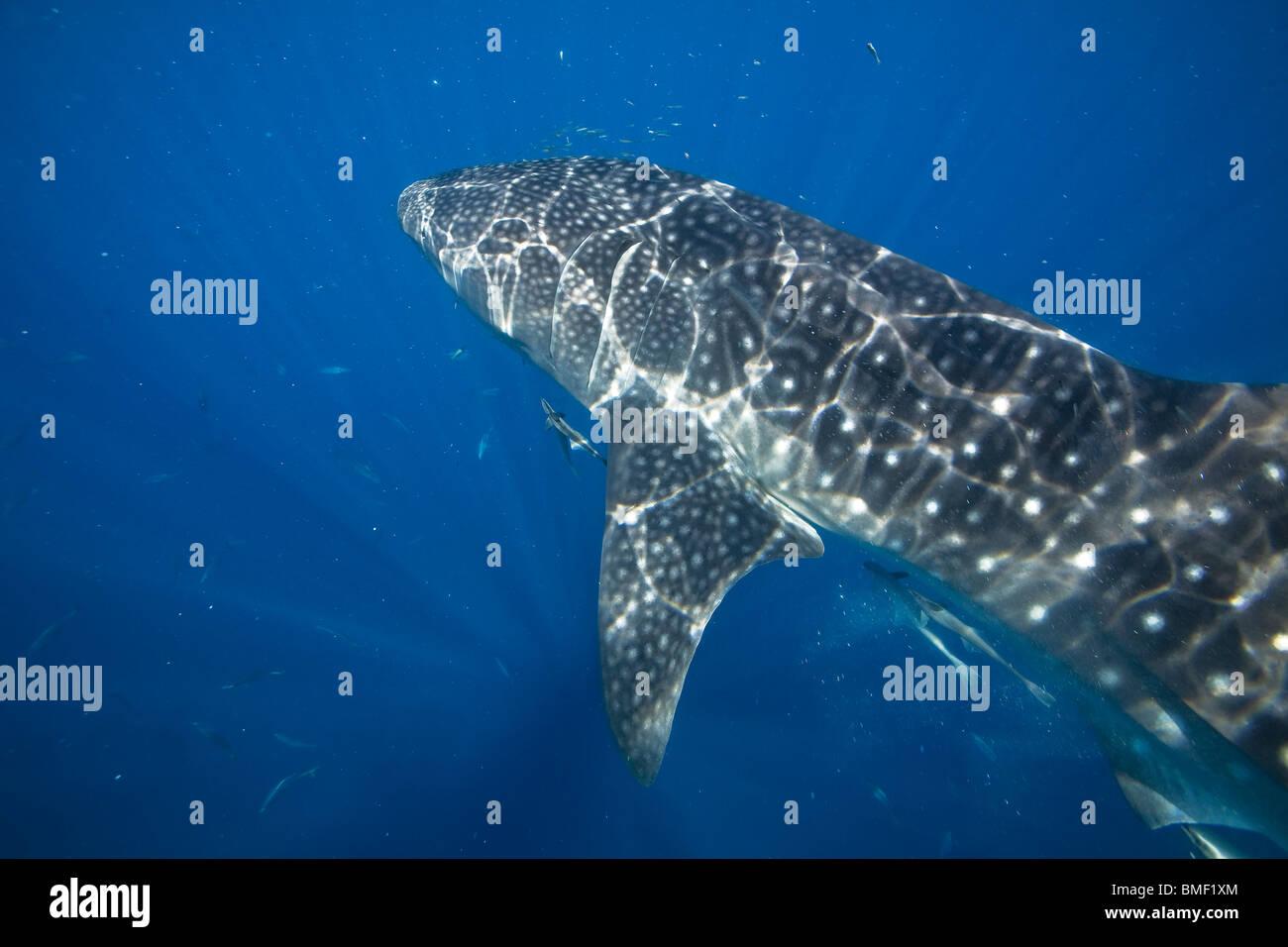 Tiburón ballena, Bahía Honda, Palawan, Filipinas Imagen De Stock