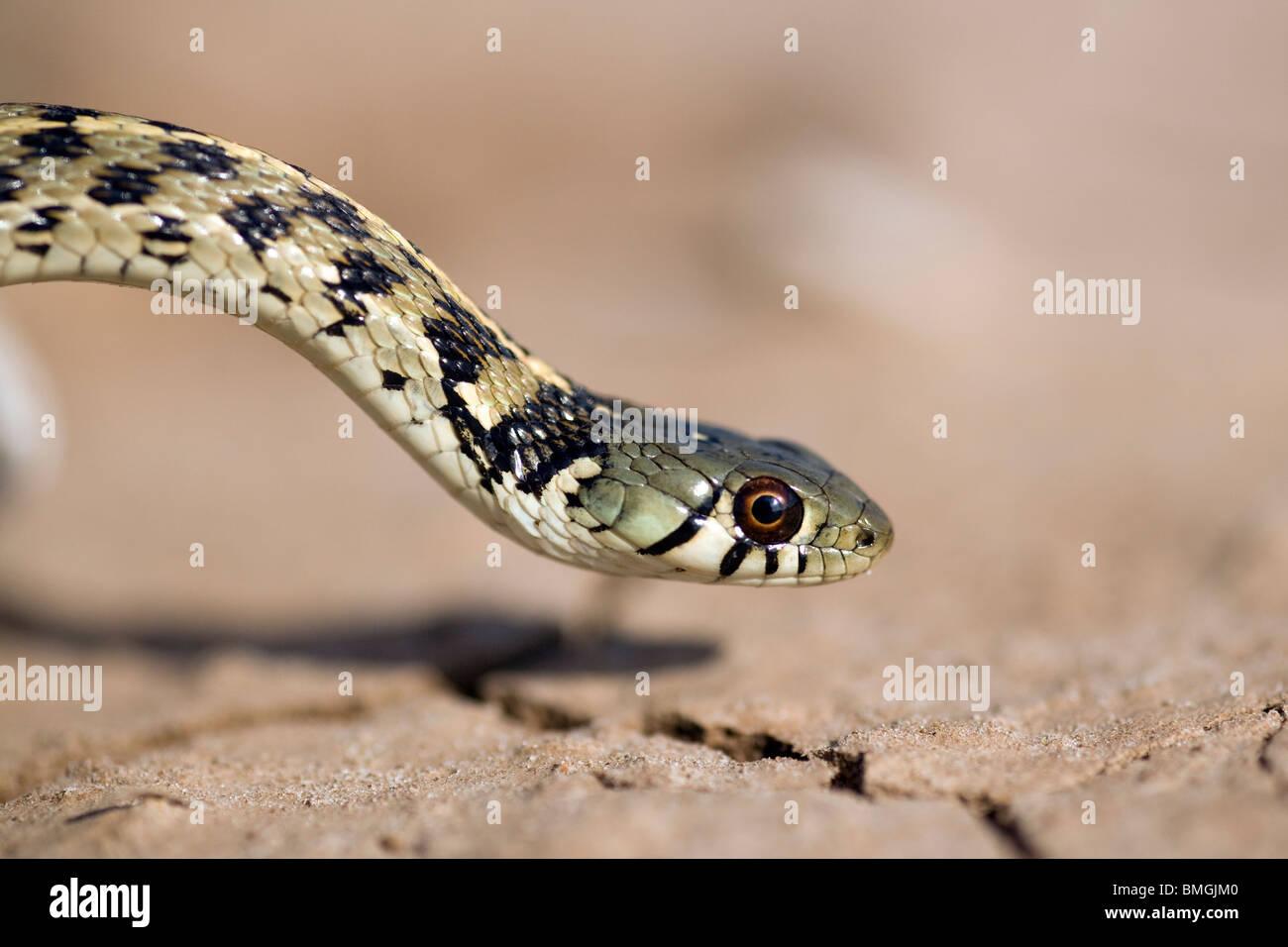Accidentada Garter Snake - Los Novios Ranch - Cerca de Cotulla, Texas, EE.UU. Imagen De Stock