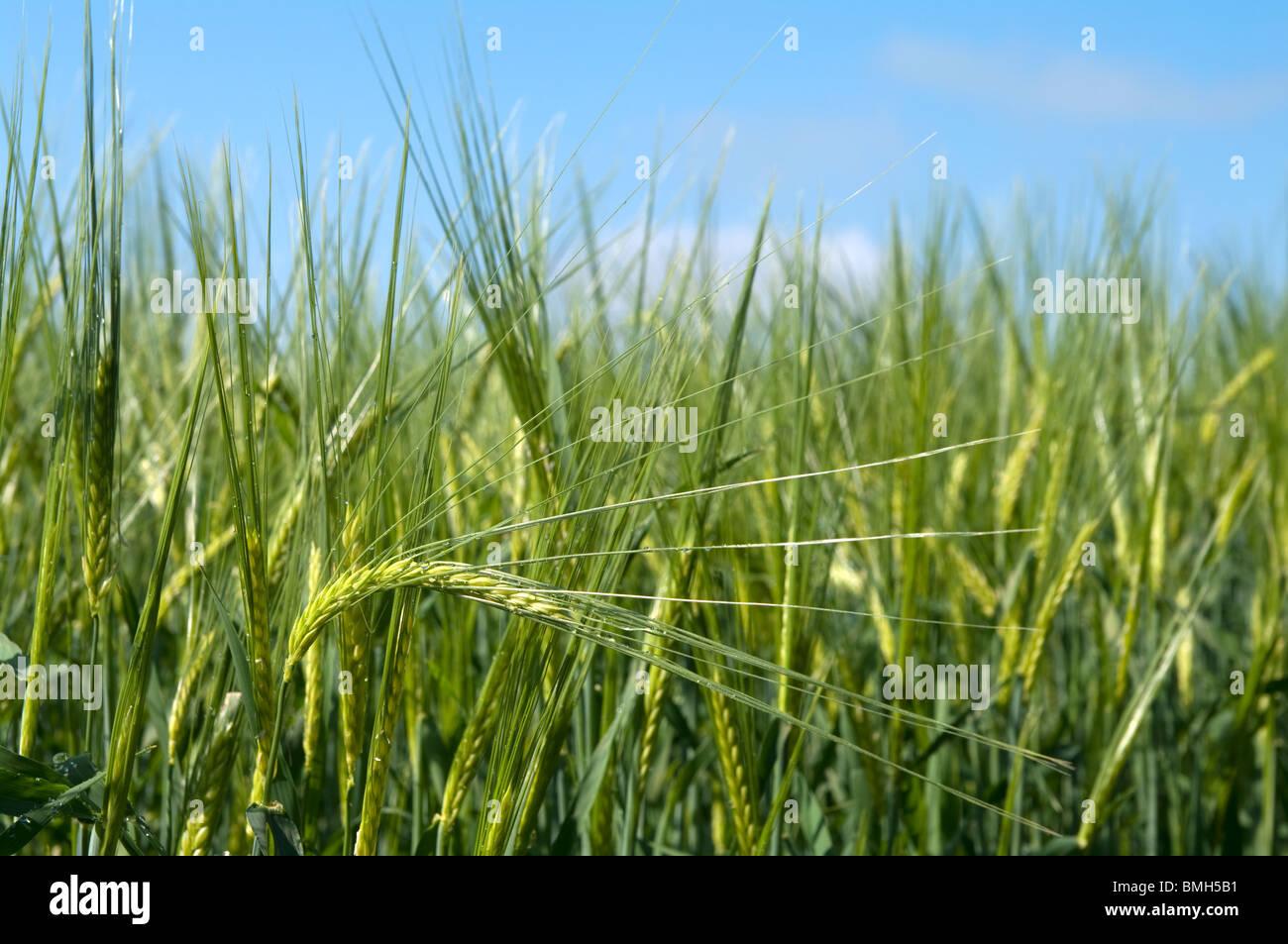 La cebada verde creciendo en gran Bardfield Essex Imagen De Stock