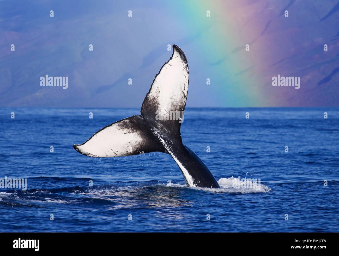 Cola de ballena jorobada con arco iris, Molokai, Hawai. Imagen De Stock