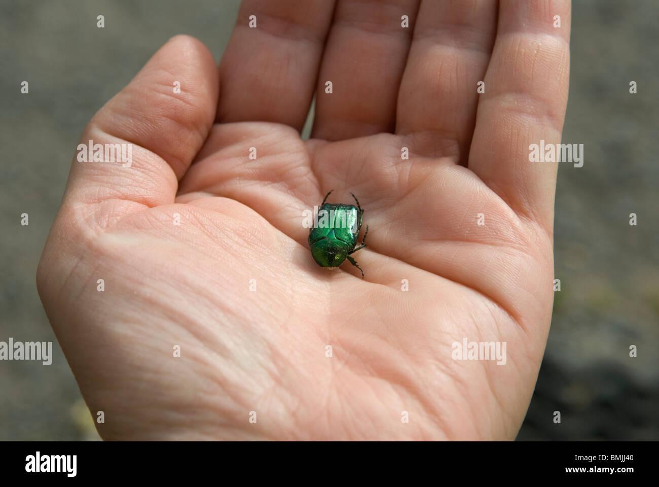 La mano humana la celebración de escarabajo, cerca Imagen De Stock