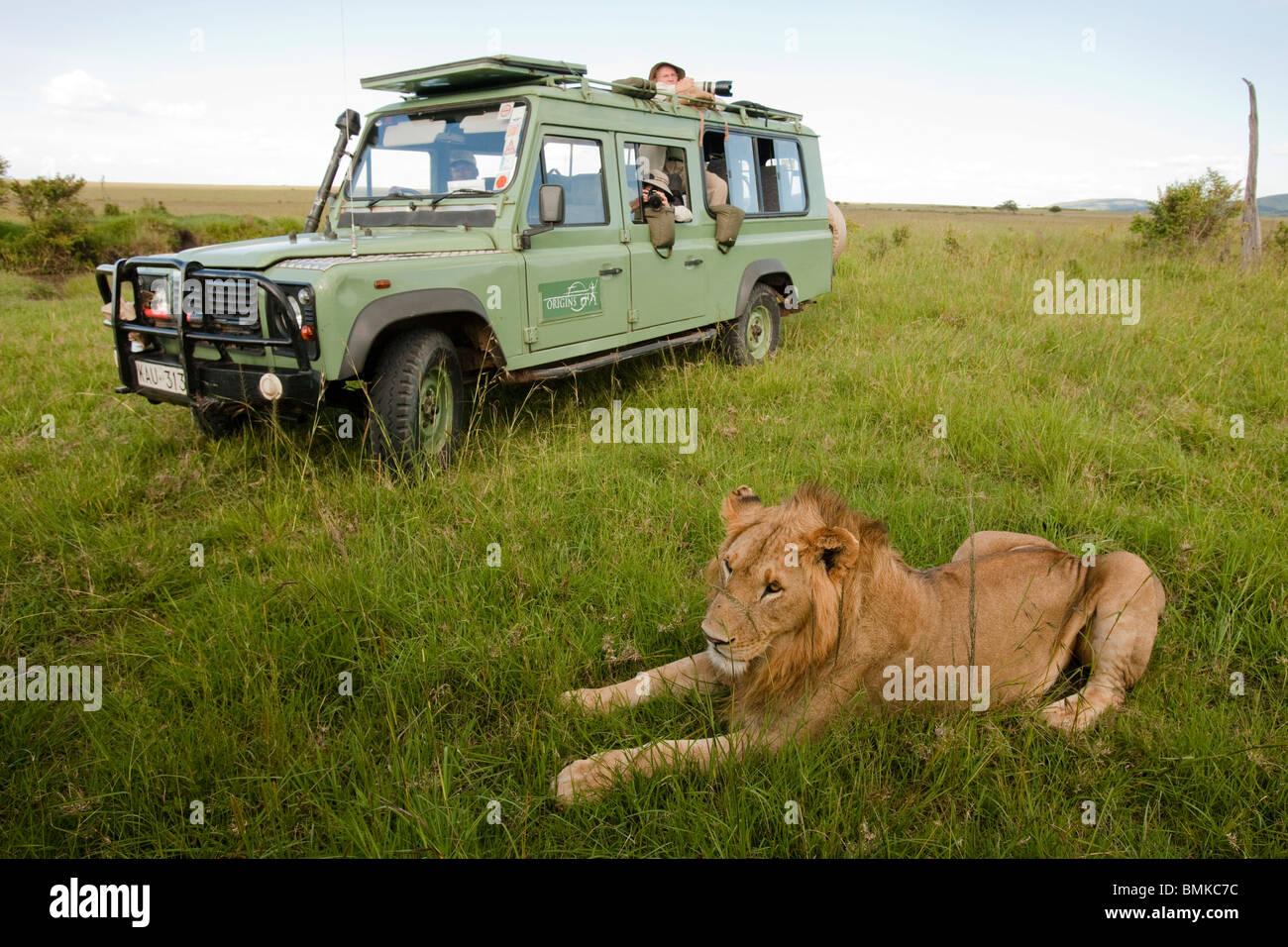 León Africano, Panthera leo, en frente de vehículos de turismo en el Masai Mara GR, Kenya. Imagen De Stock