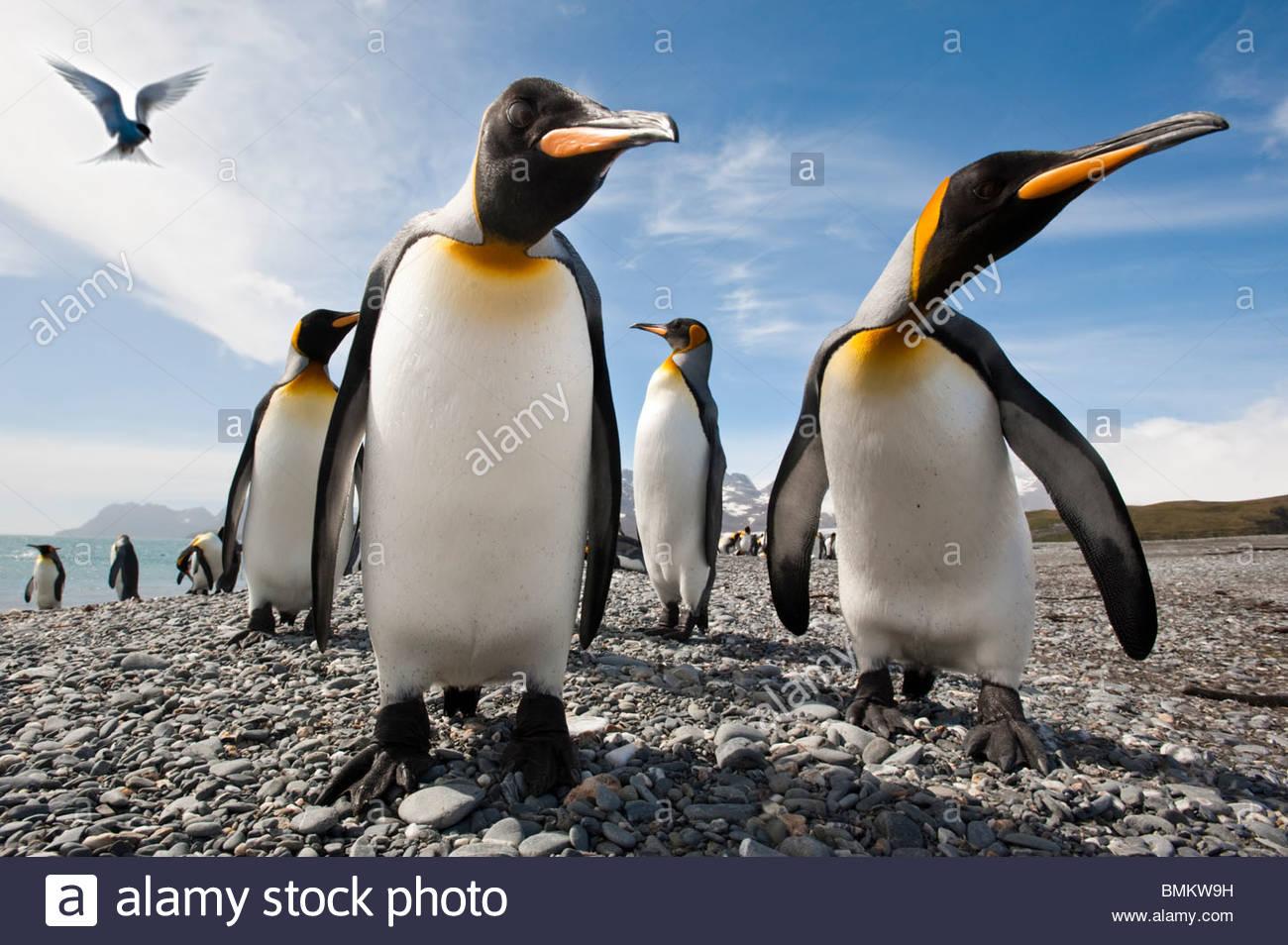 Los pingüinos rey sobre la playa, en la llanura de Salisbury, con Antarctic Tern flotando. Georgia del Sur, Imagen De Stock
