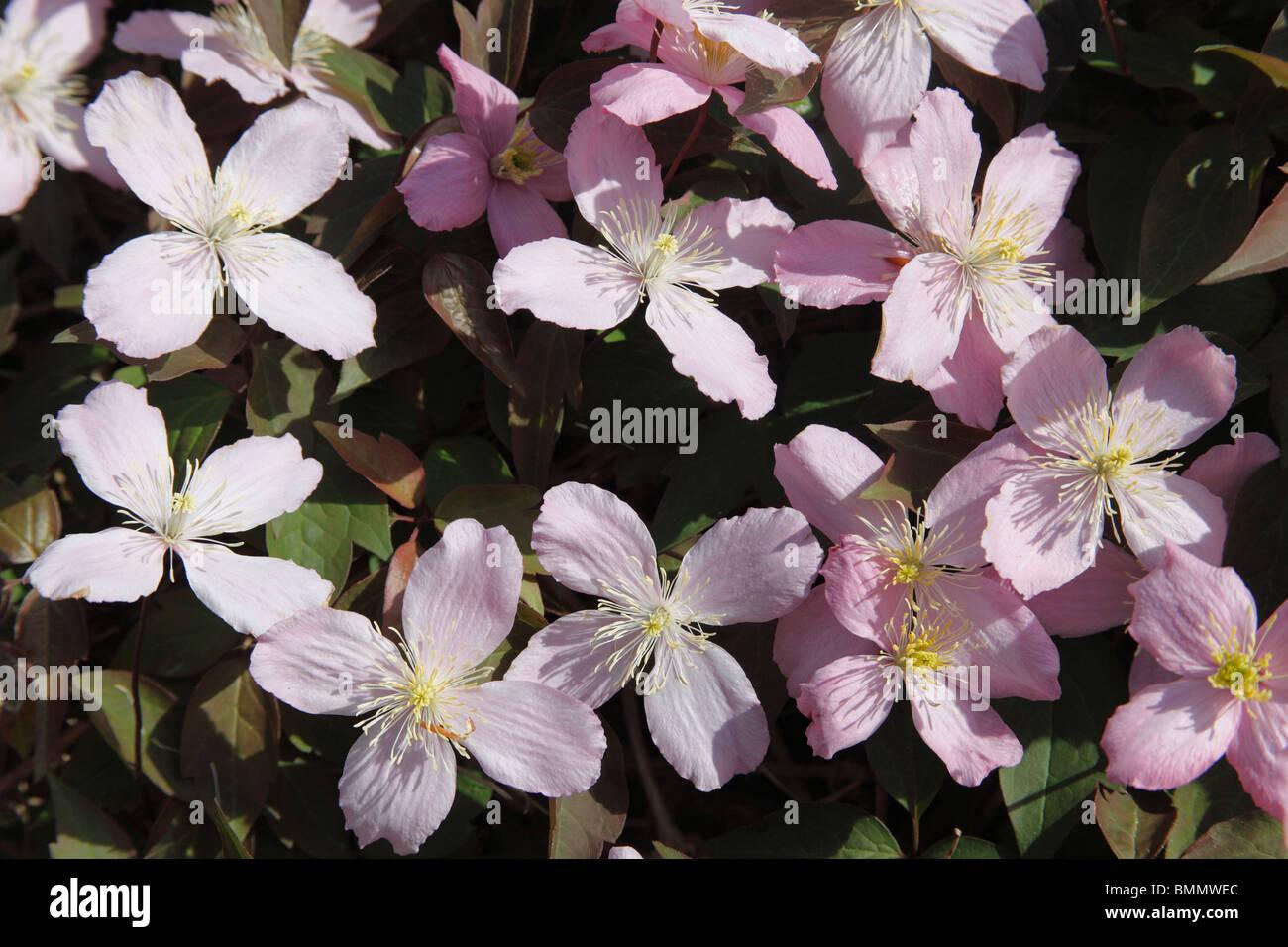 Clematis Rosa perfección planta en flor Imagen De Stock