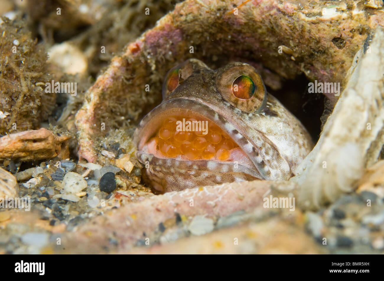 Macho con bandas Jawfish (Opistognathus macrognathus) incubar sus huevos en su boca, en Singer Island, FL. Imagen De Stock