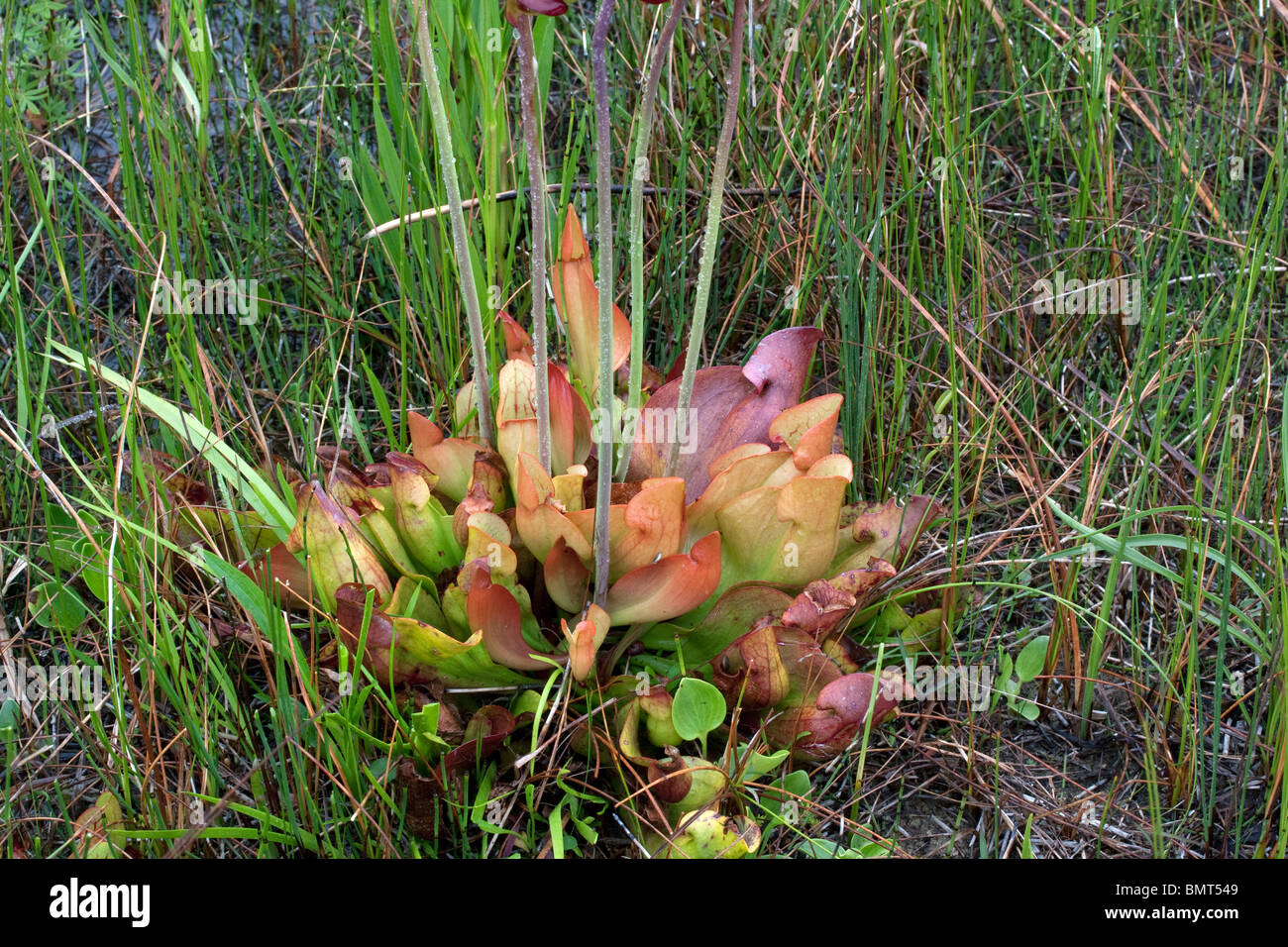 La lanzadora del Norte planta carnívora Sarracenia purpurea E América del Norte Foto de stock