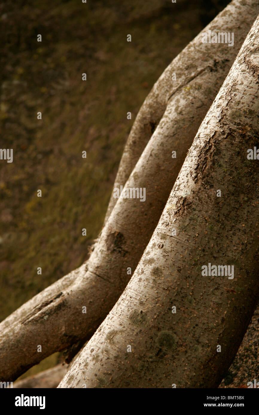 Abstract en la naturaleza ; el tronco de un árbol con la forma de las caderas y las piernas de una mujer desde atrás Foto de stock