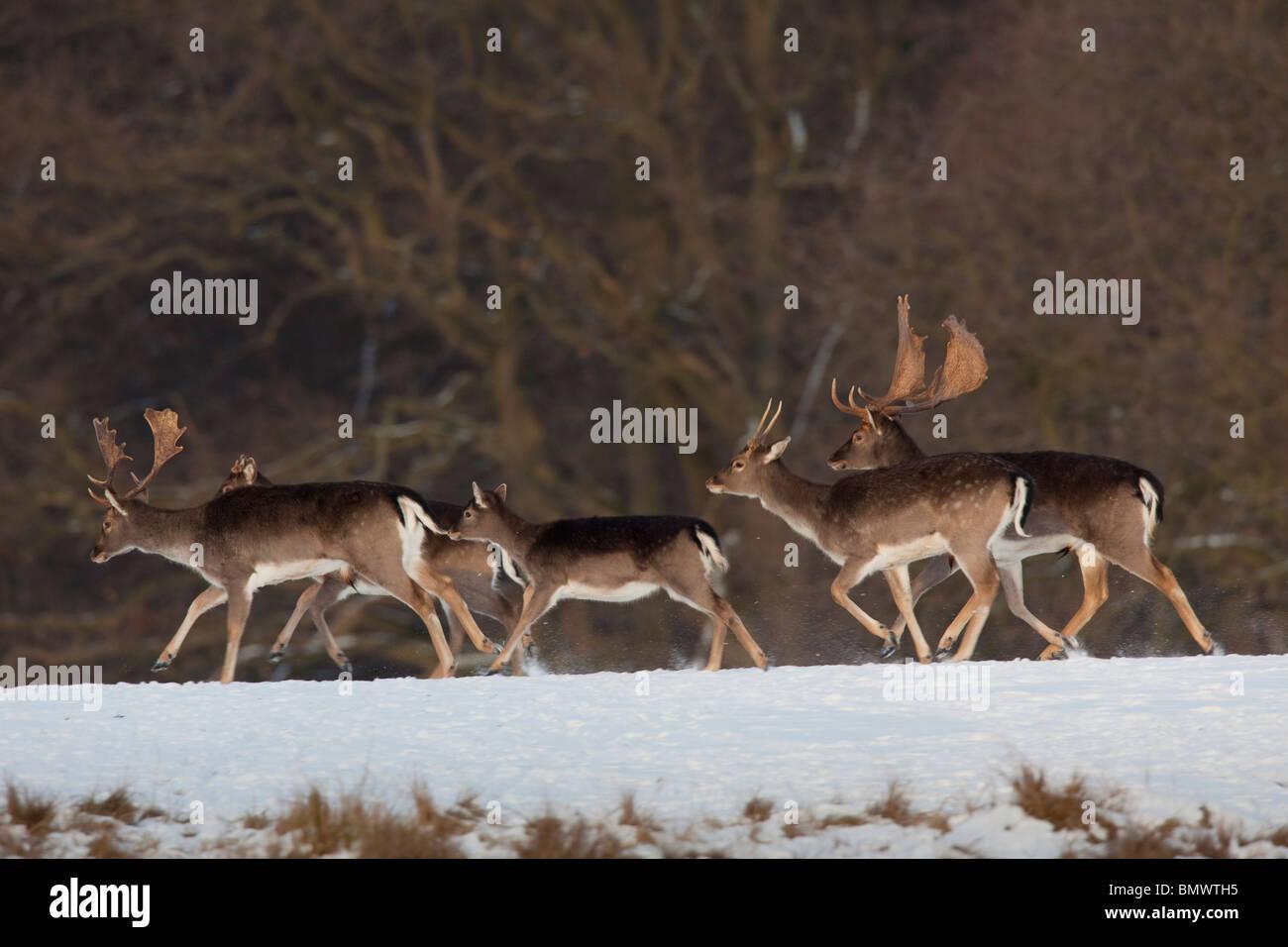 El gamo (Dama dama). Huyendo de grupo en invierno. Imagen De Stock