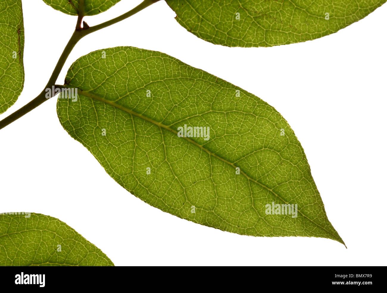 Las hojas de las plantas verdes en una sucursal, fondo blanco. Imagen De Stock
