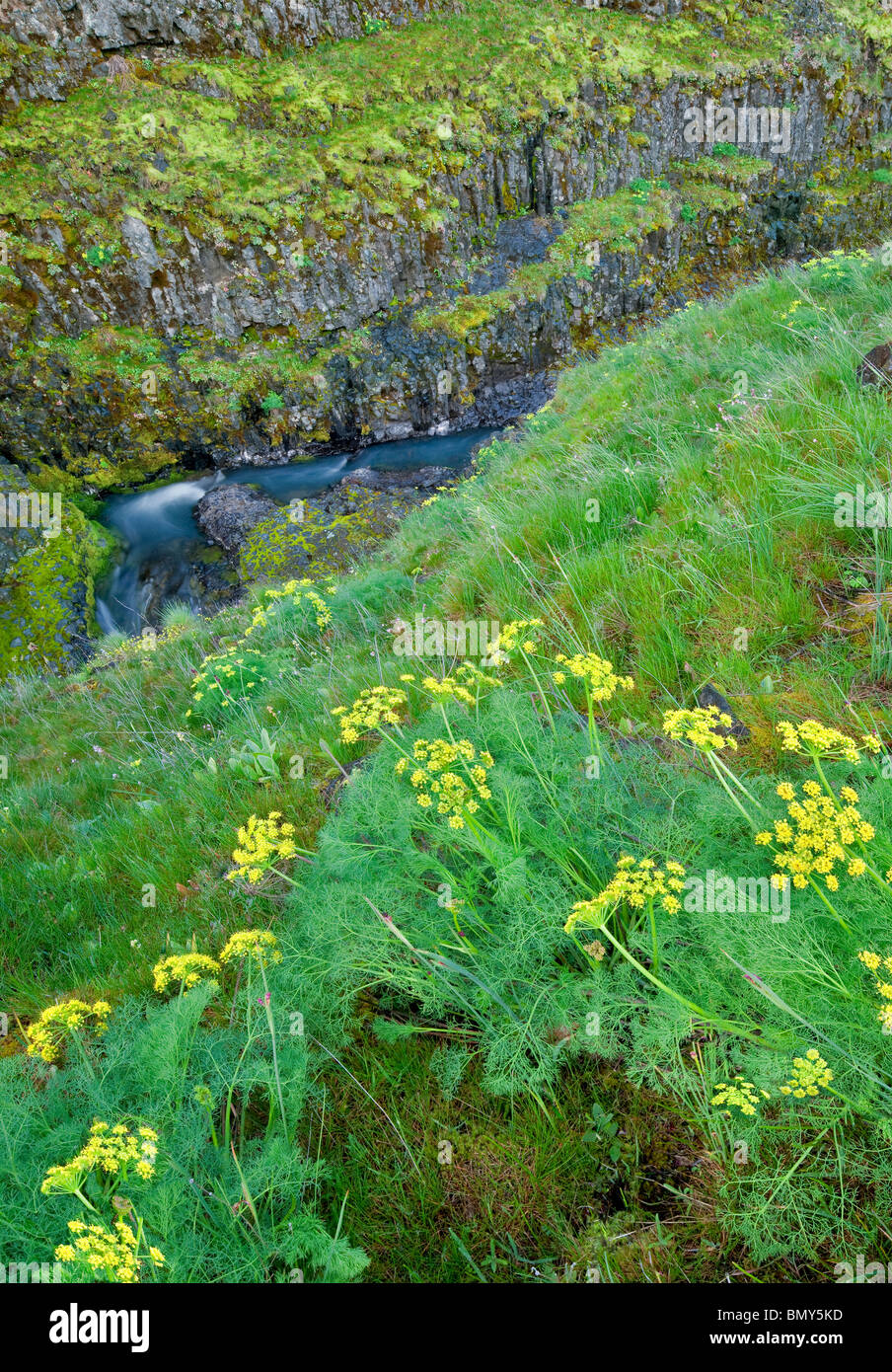 Desierto picante Perejil (Lomatium grayi) y Catherine Creek. Columbia River Gorge National Scenic Area, Washington Imagen De Stock