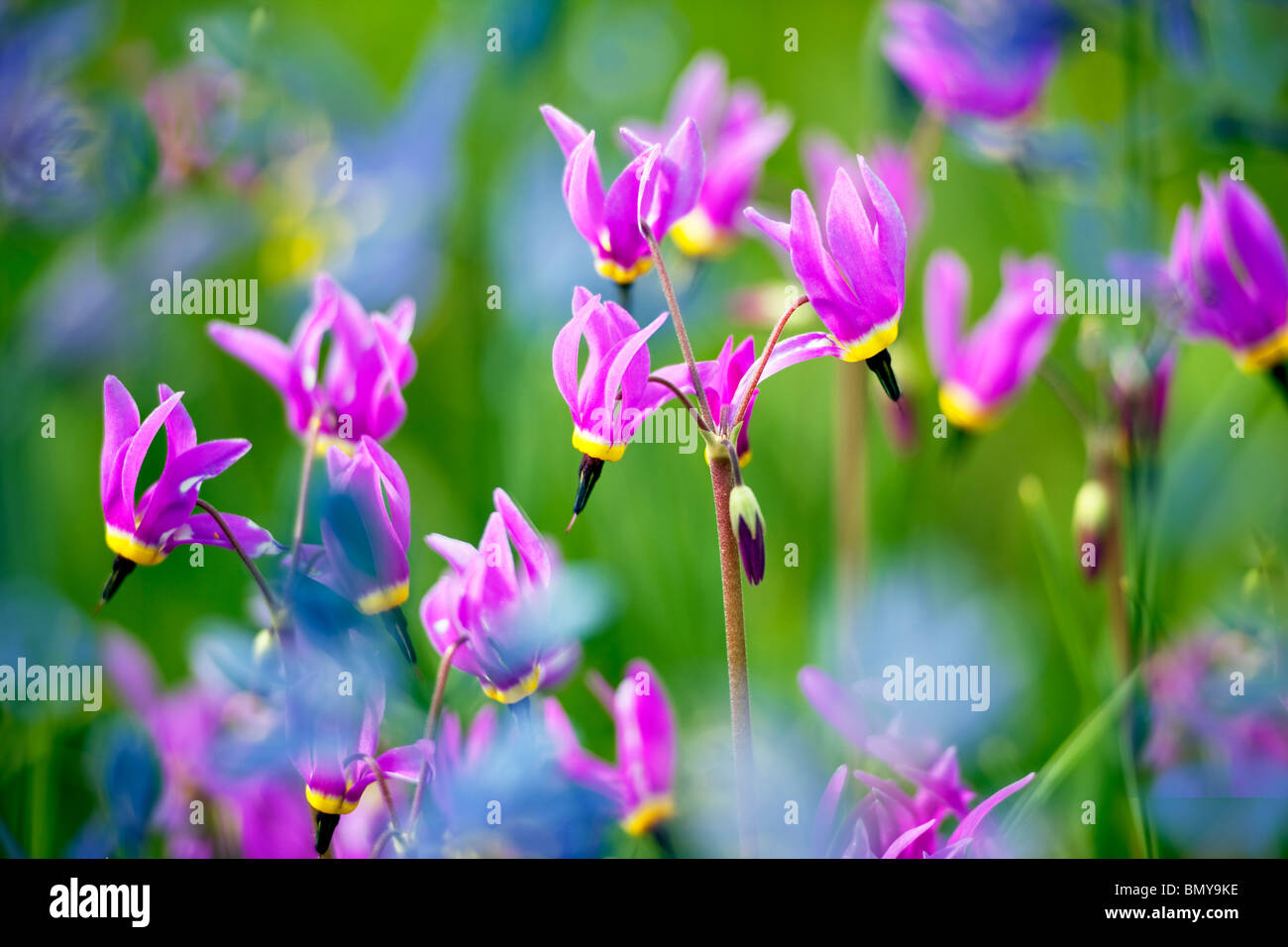 Cerca de Shooting Star (Dodecatheon conjugens) Azul Camas lily es borrosa. Cerca de Catherine Creek. Oregon Imagen De Stock