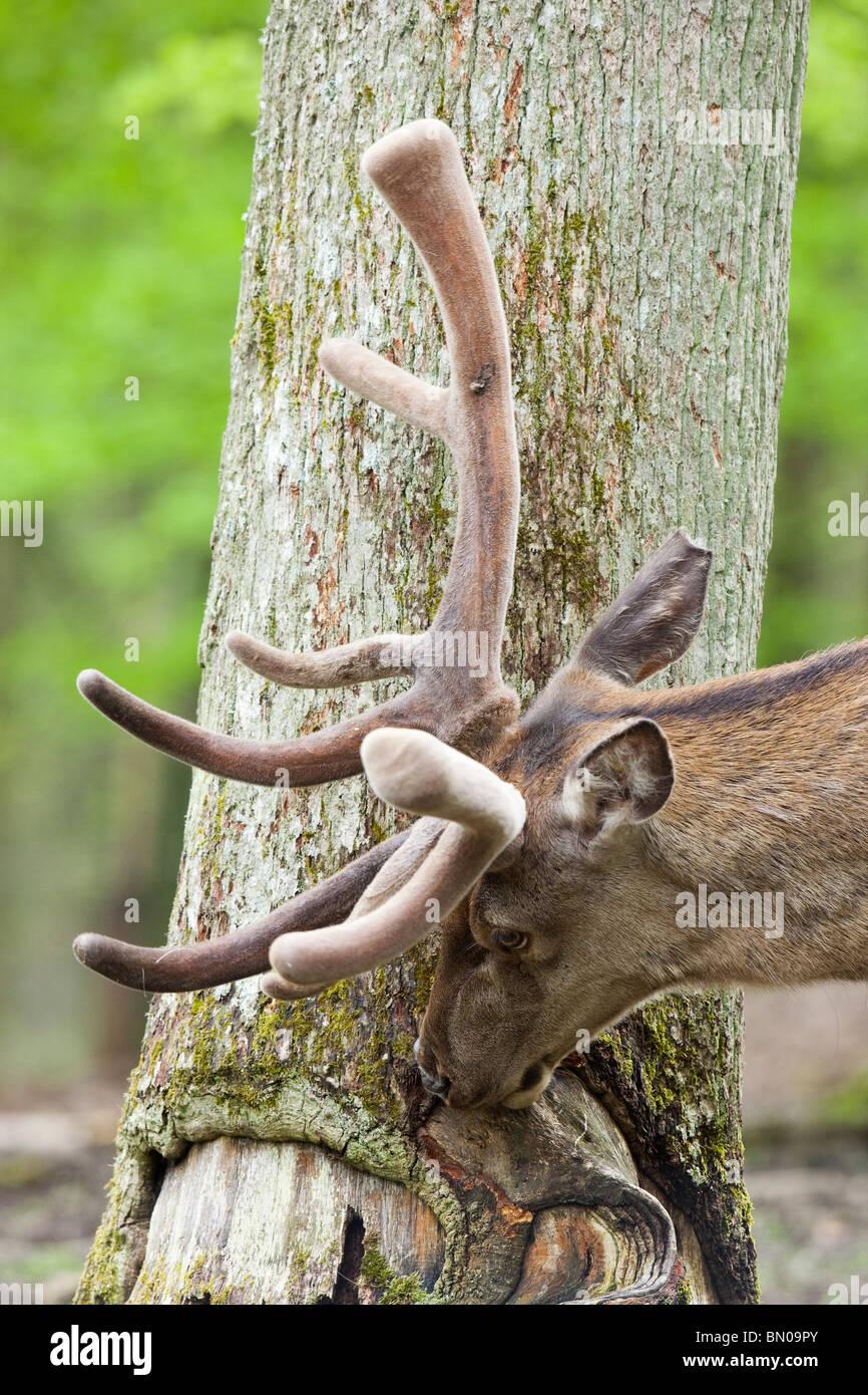 Ciervo rojo (Cervus elaphus). Stag punzante sobre la corteza de un árbol. Foto de stock