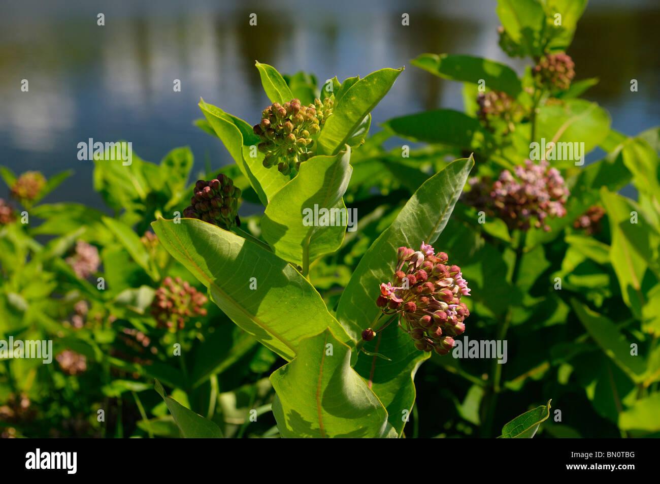 Ciénaga de flores púrpura asclepias asclepias incarnata crecen junto a un estanque de Ontario, Canadá Foto de stock