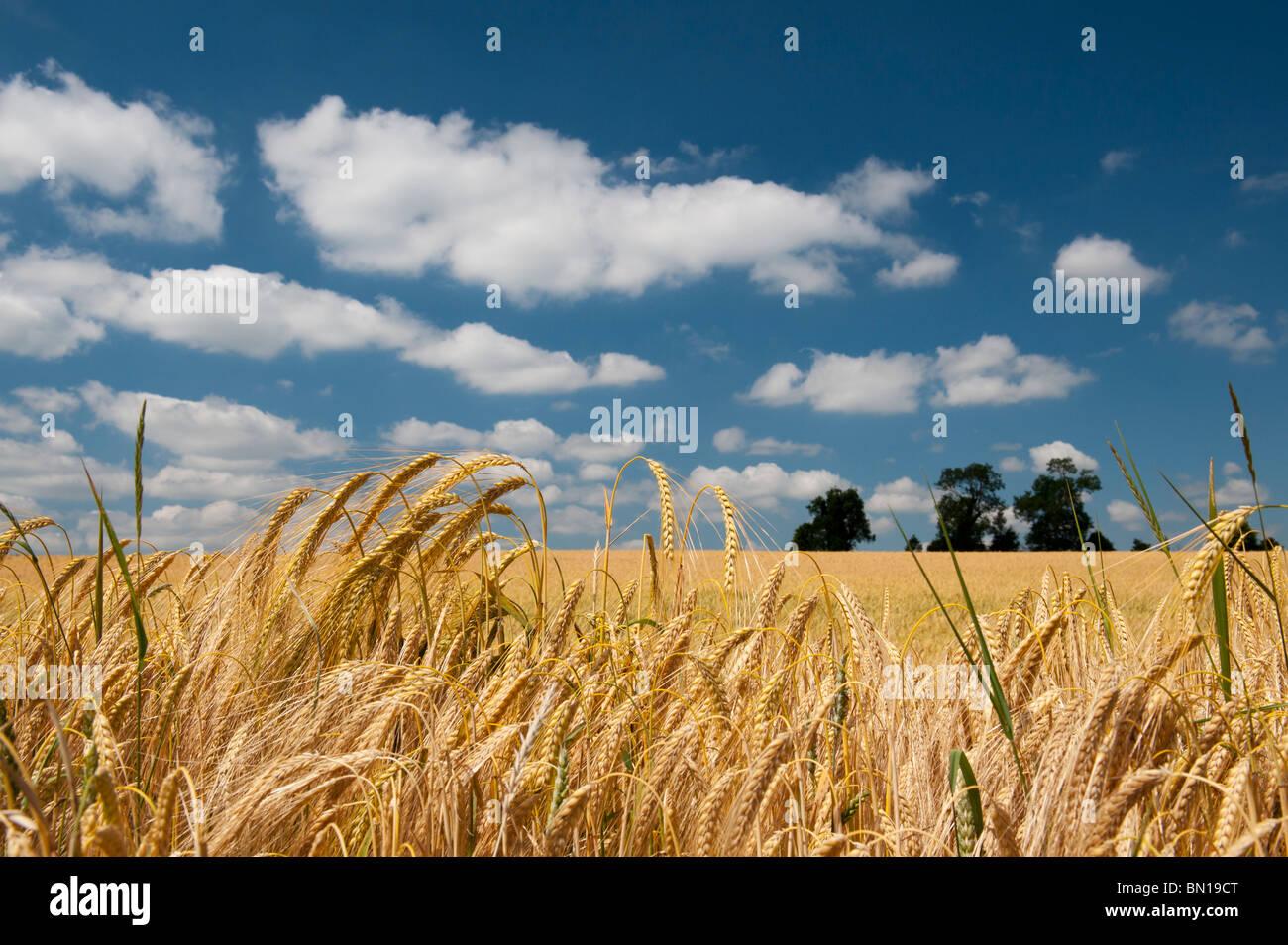 La maduración de la cebada en un campo en la campiña inglesa. Oxfordshire, Inglaterra Imagen De Stock