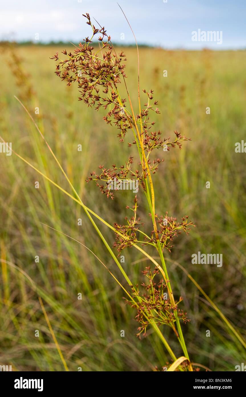Visto la hierba flores florecen en primavera, el Parque Nacional Everglades, Florida, EE.UU. Foto de stock