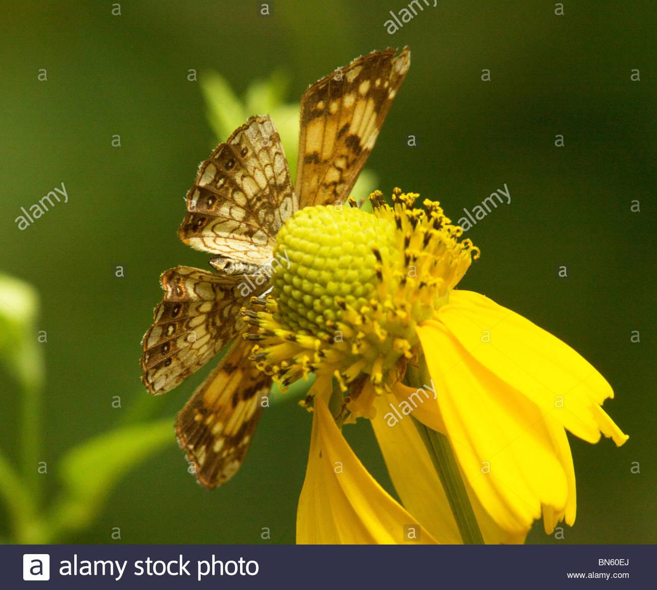 Plateado Chlosyne nycteis Checkerspot Butterfly 'Nuevo México' Foto de stock