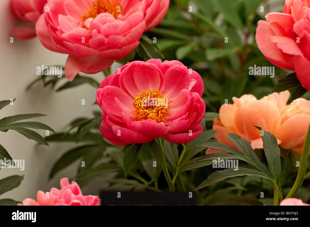"""Las Peonías herbáceas Coral """"encanto"""" en flor Foto de stock"""