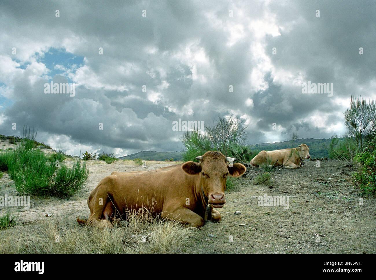 Vacas en Geres Foto de stock